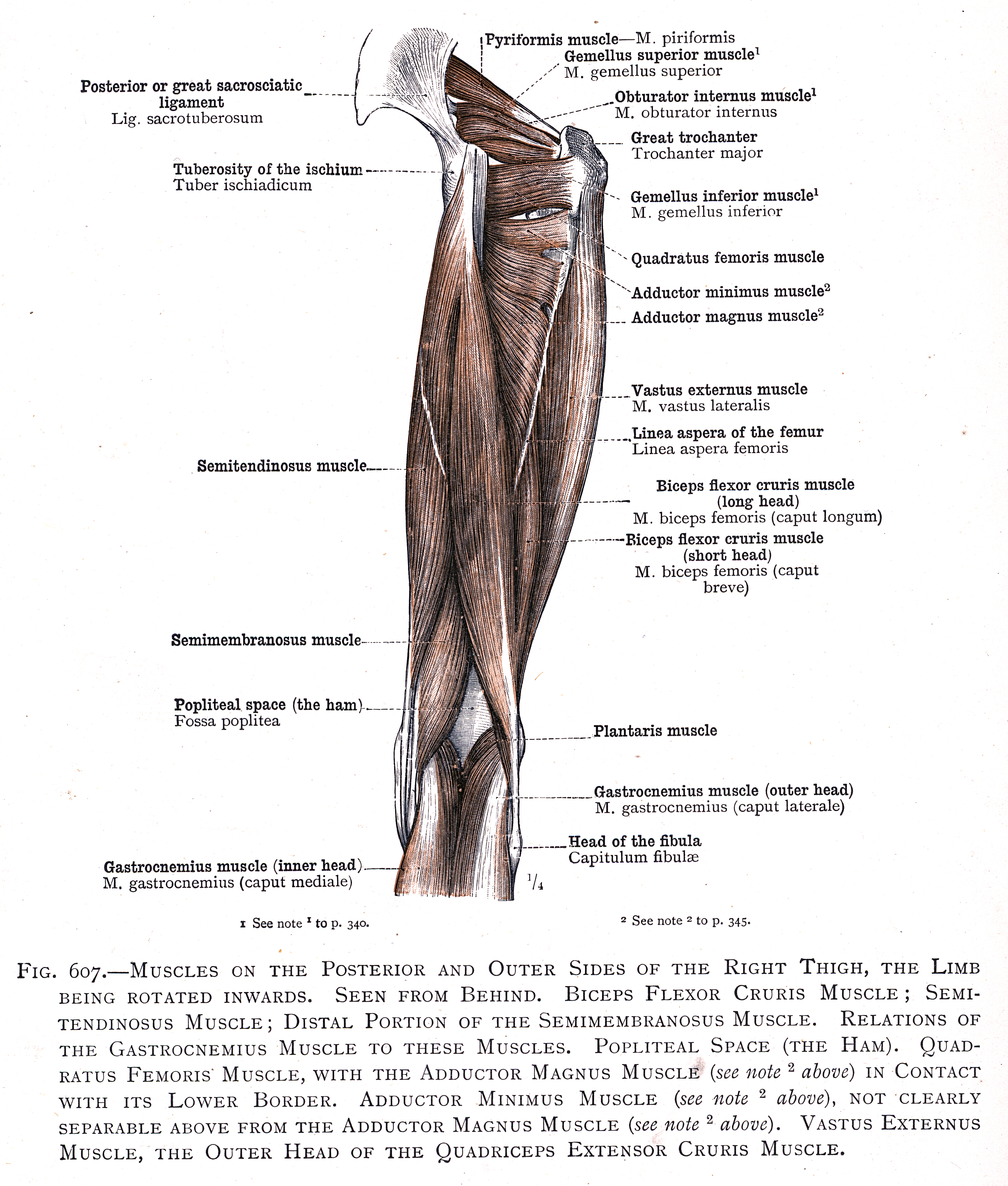 607 Muscles On The Posterior And Outer Sides Of The Right Thigh