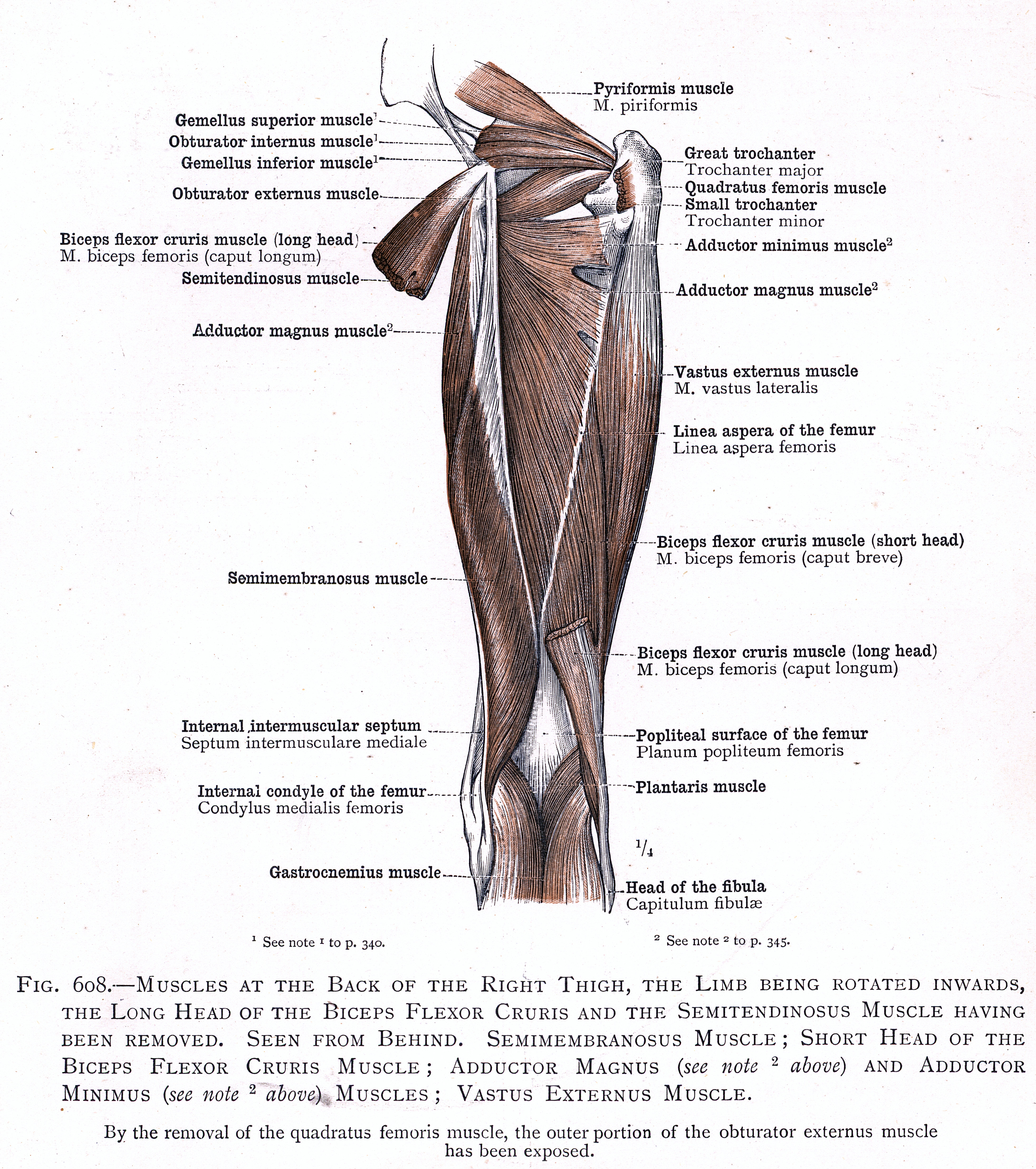 608 Muscles At The Back Of The Right Thigh Semimembranosus Muscle
