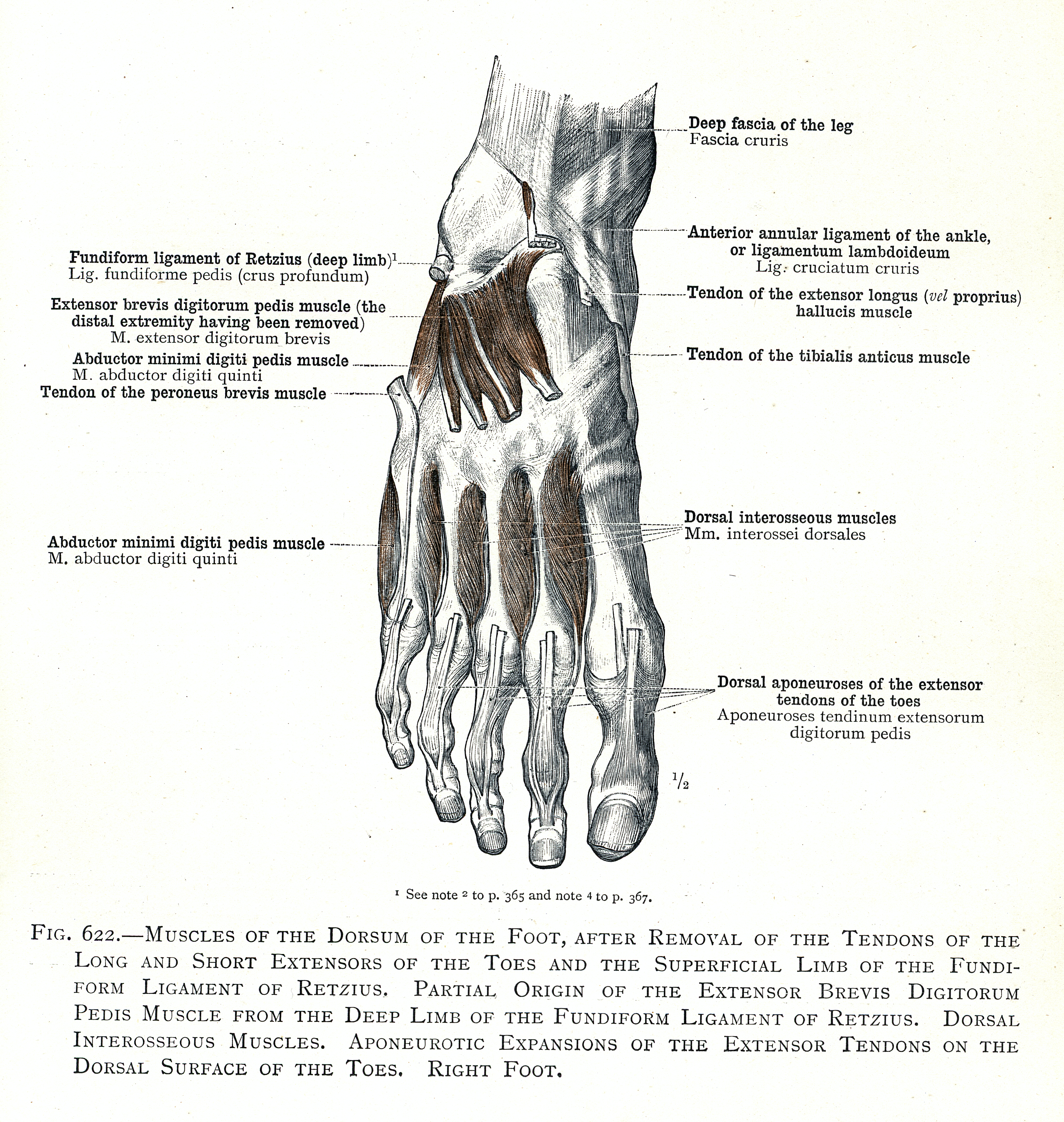 622. Muscles of the dorsum of the foot. Partial origin of the ...