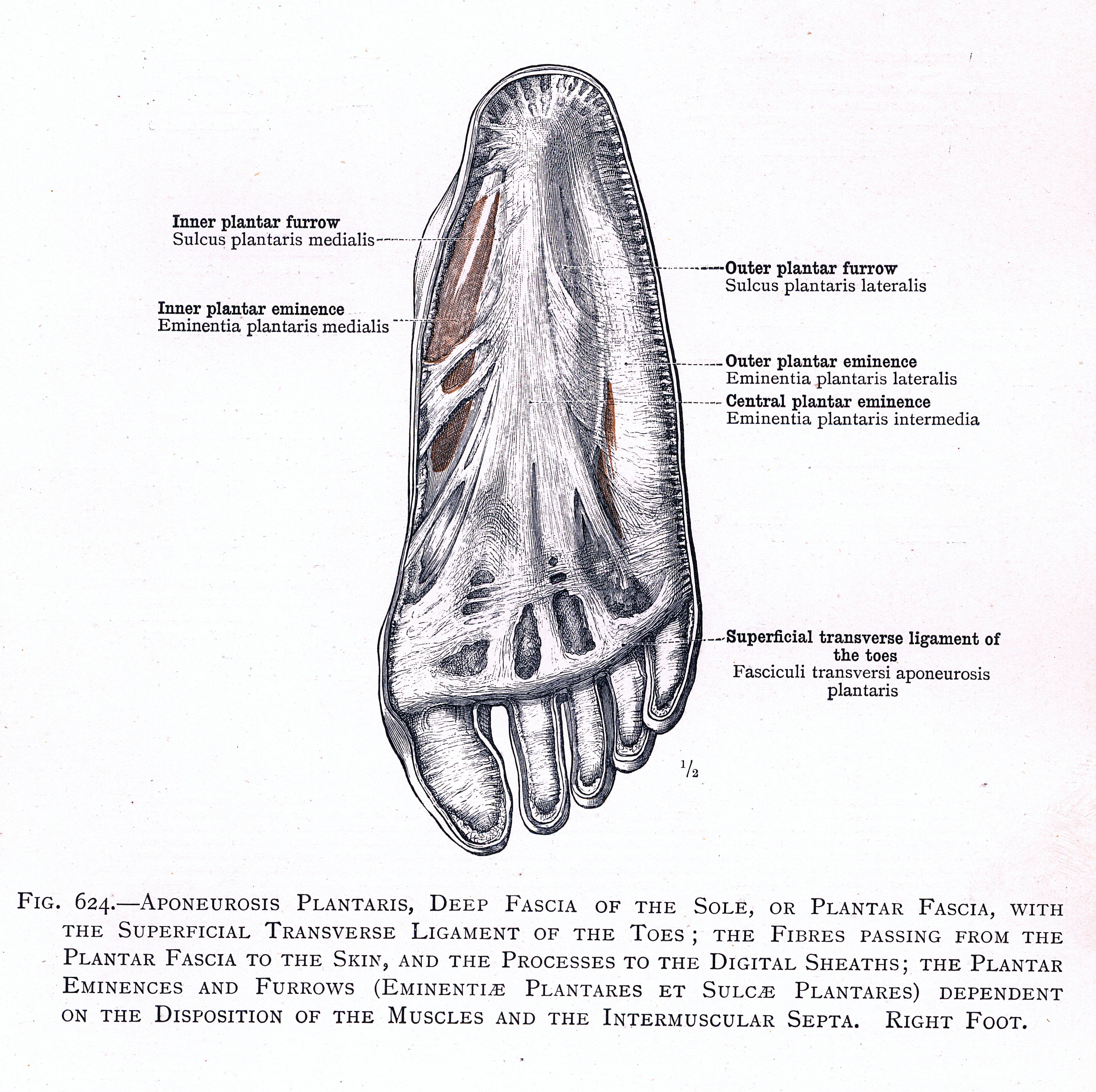 624. Aponeurosis plantaris, deep fascia of the sole, or plantar ...