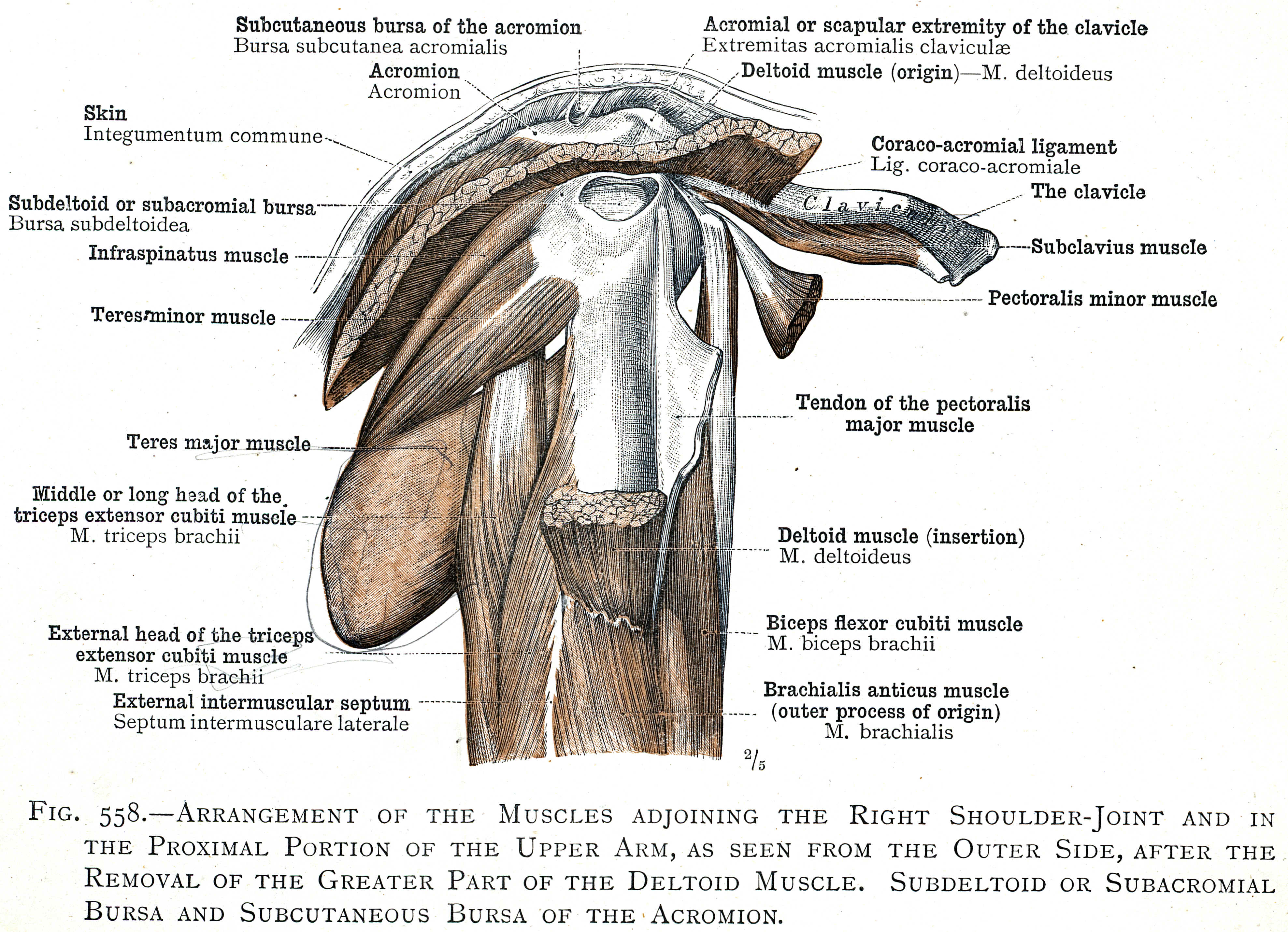 558 Arrangement Of The Muscles Adjoining The Right Shoulder Joint