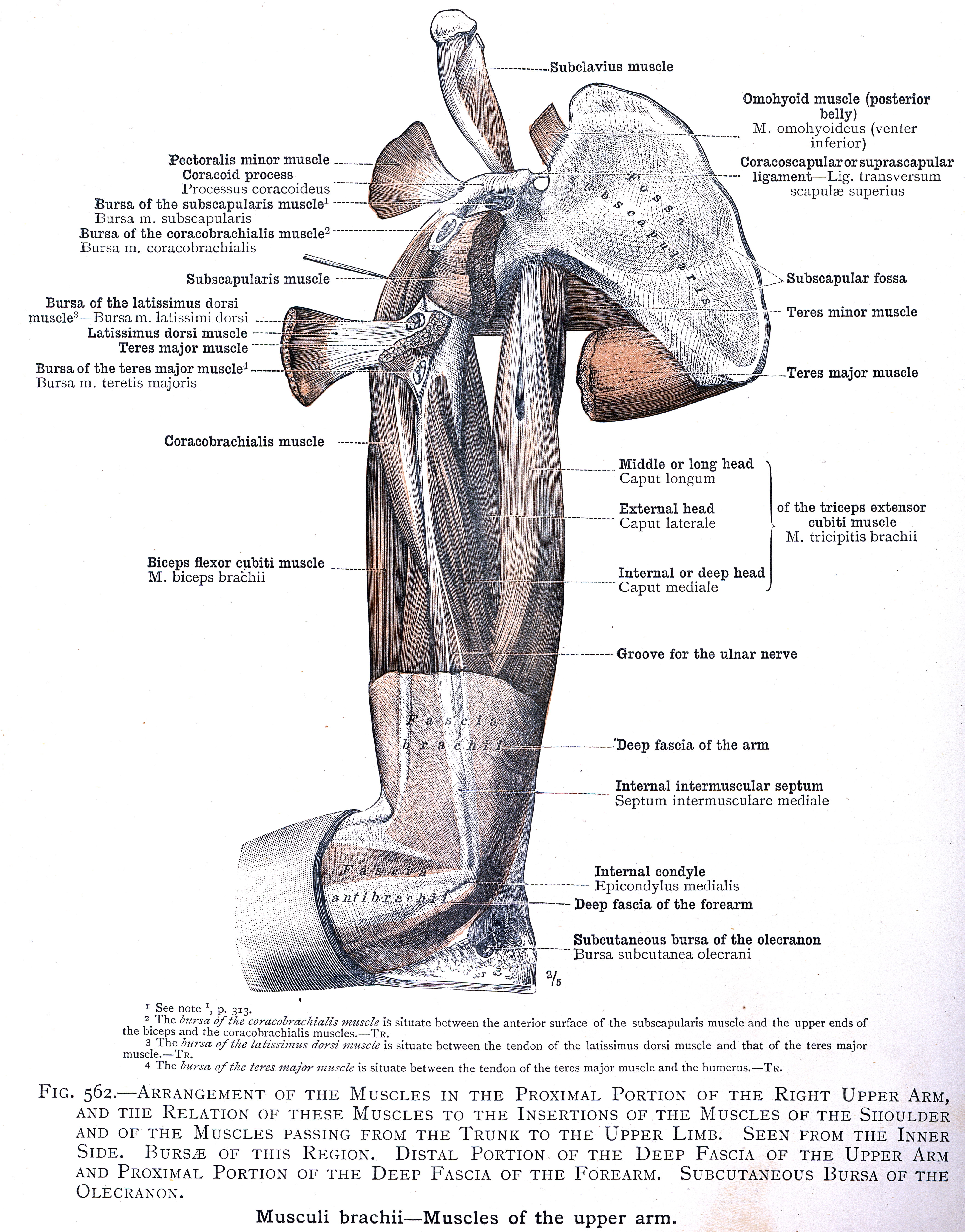 562 Arrangement Of The Muscles In The Proximal Portion Of The Right