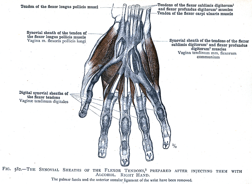583. The synovial sheaths of the flexor tendons, left hand