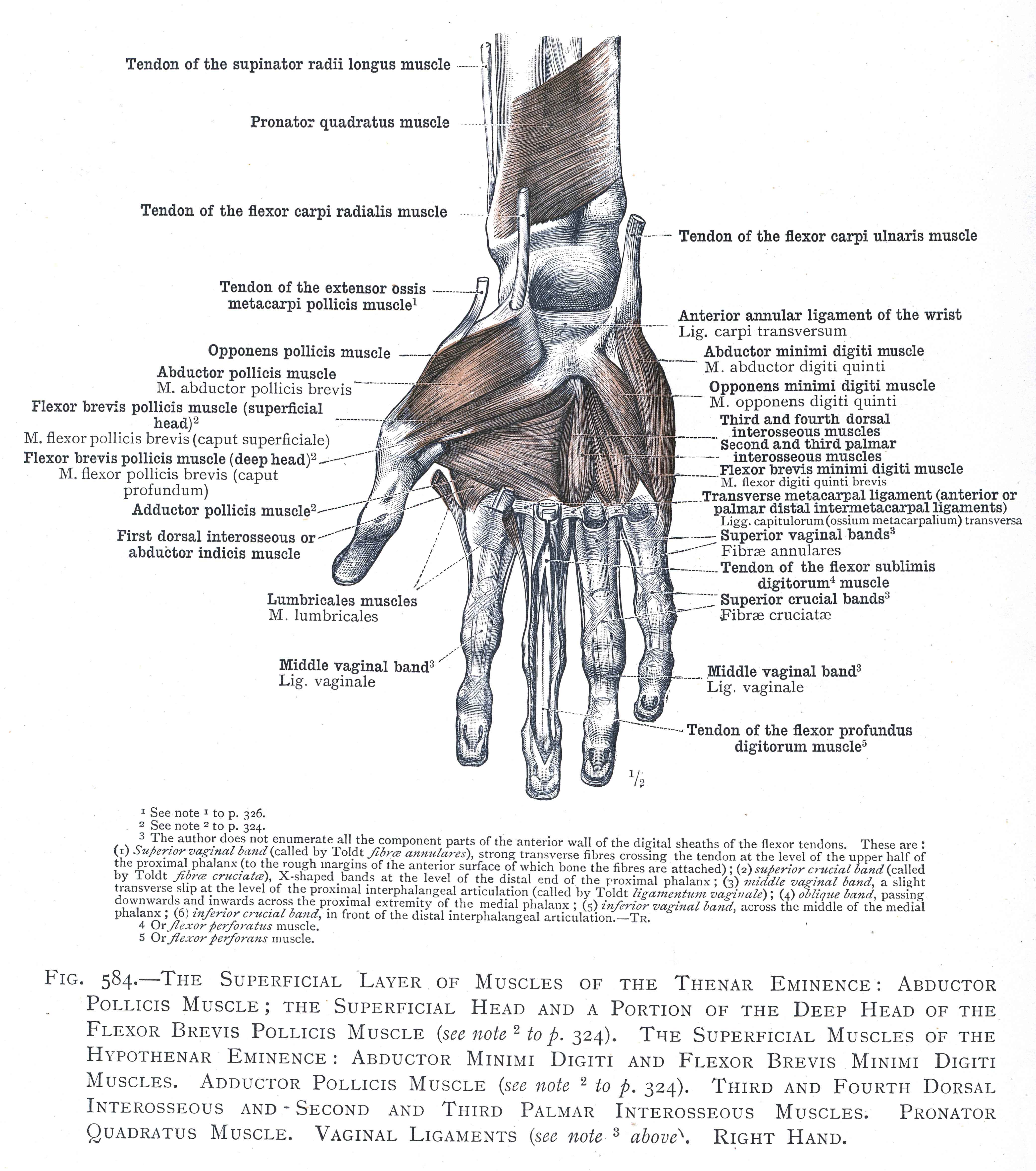 584. The superficial layer of muscles of the thenar eminence ...