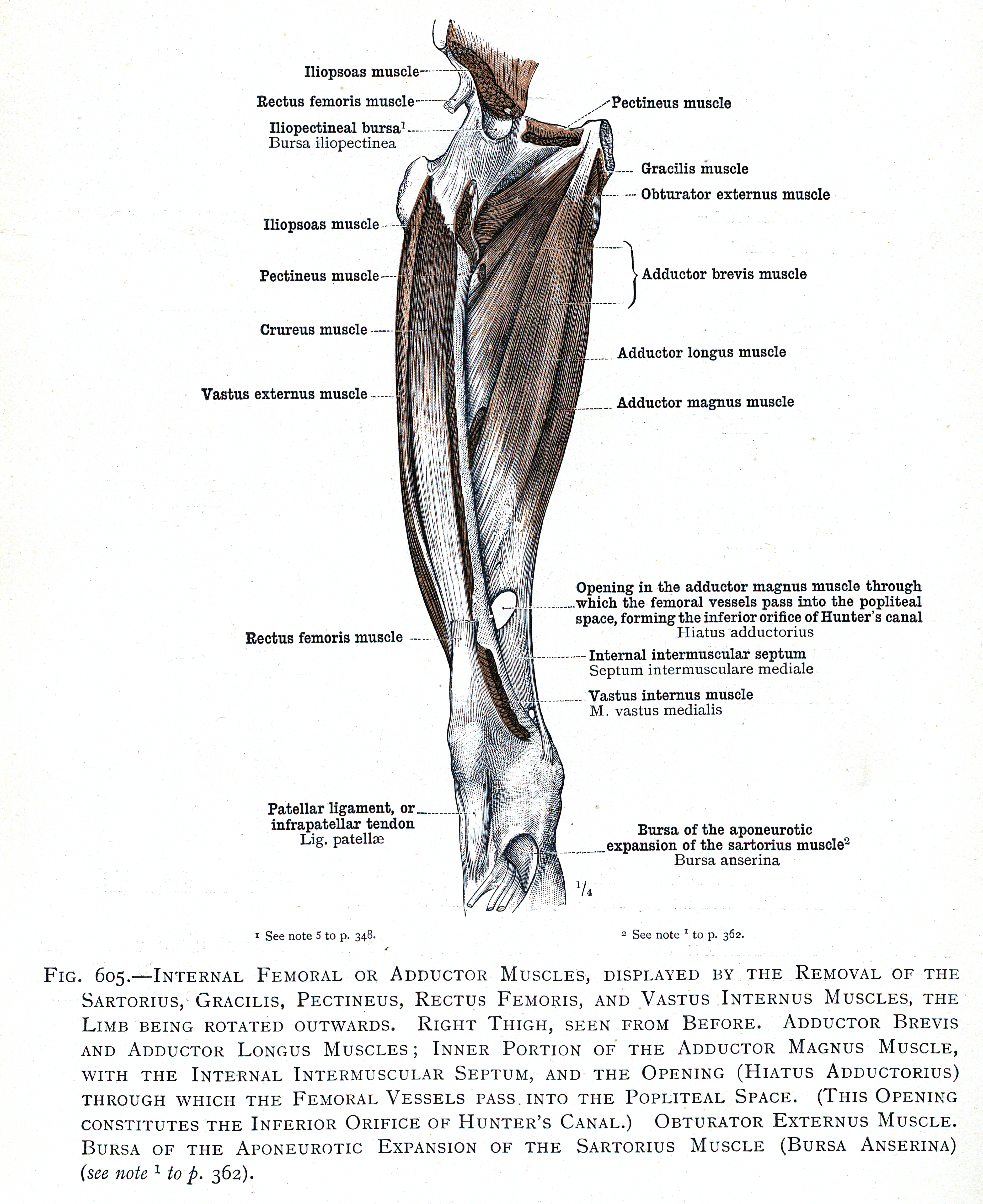 605. Internal femoral or adductor muscles. Adductor brevis and ...
