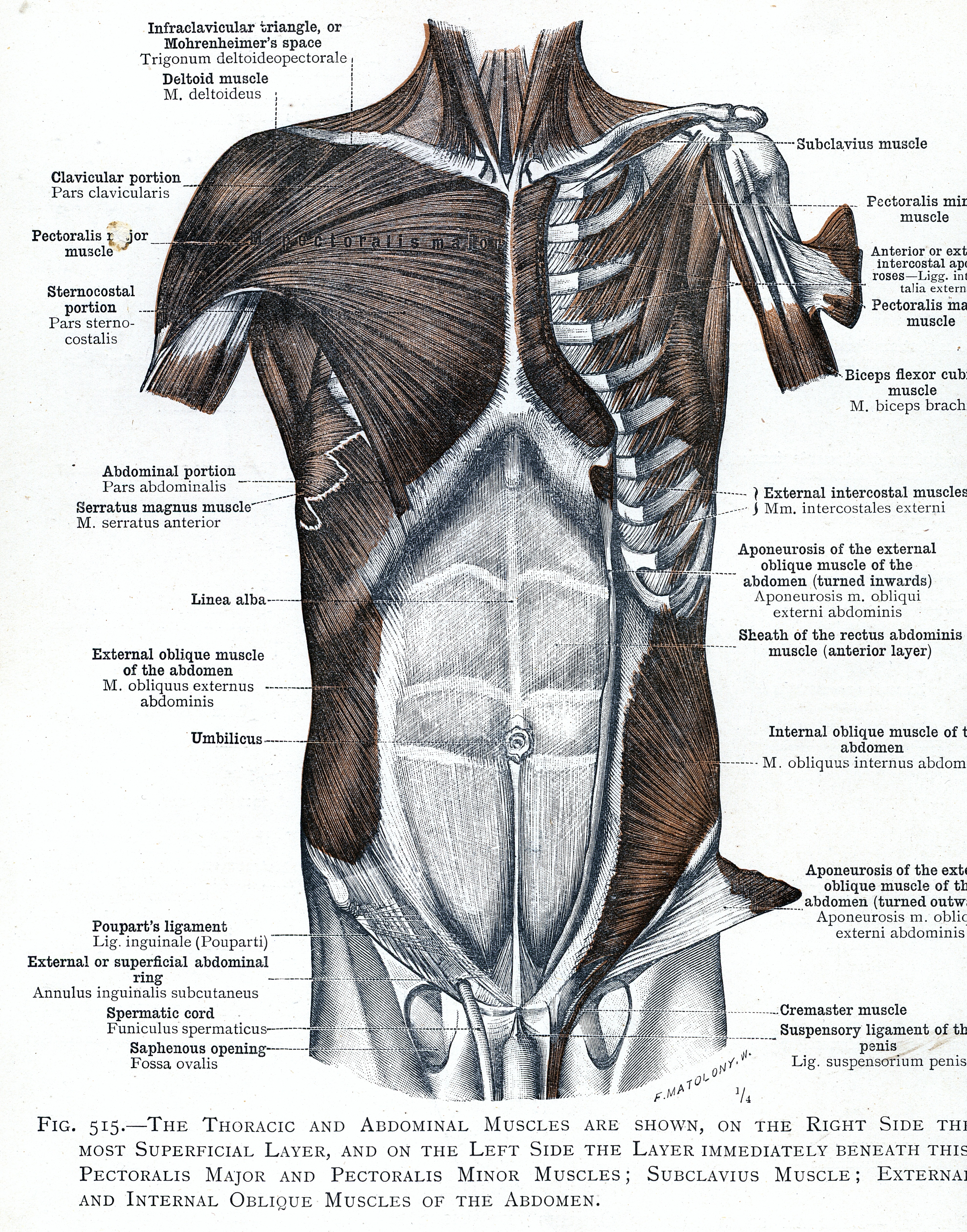 515 Pectoralis Major And Pectoralis Minor Muscles Subclavius
