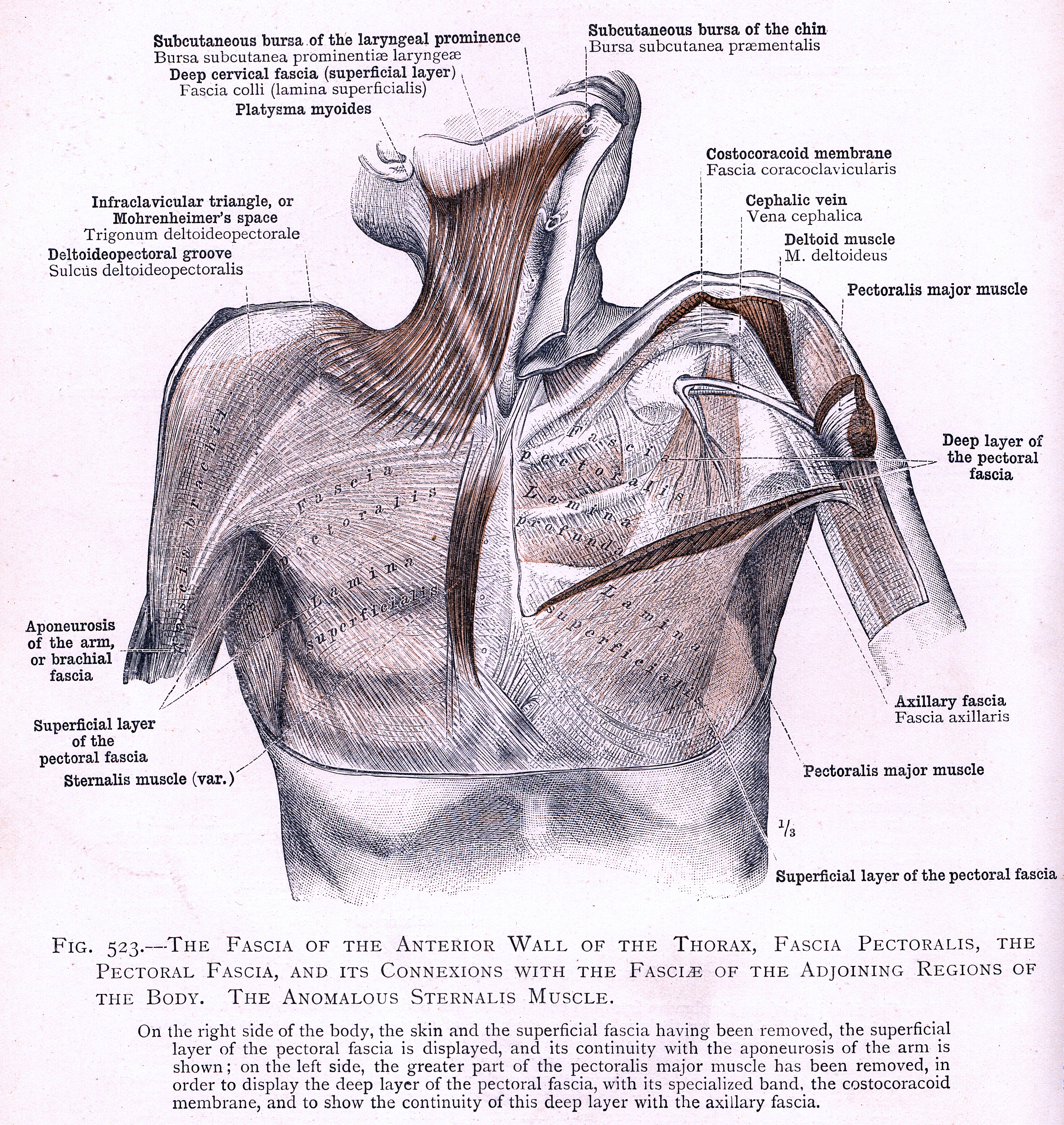 523. The fascia of the anterior wall of the thorax, fascia ...