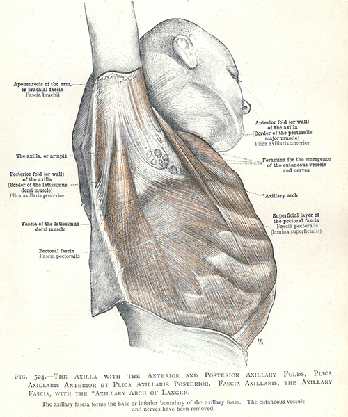 524  the axilla with the anterior and posterior axillary