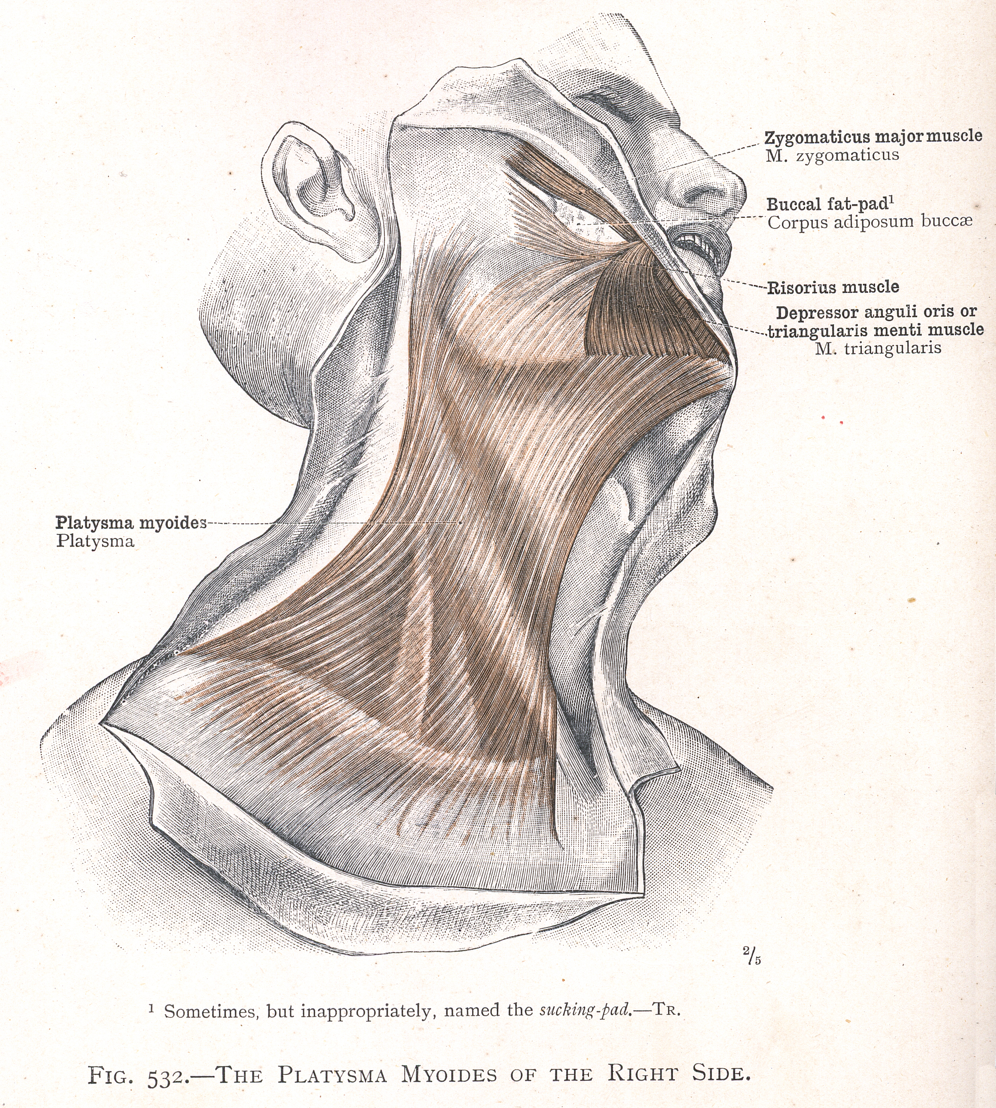 532 The Platysma Myoides Of The Right Side