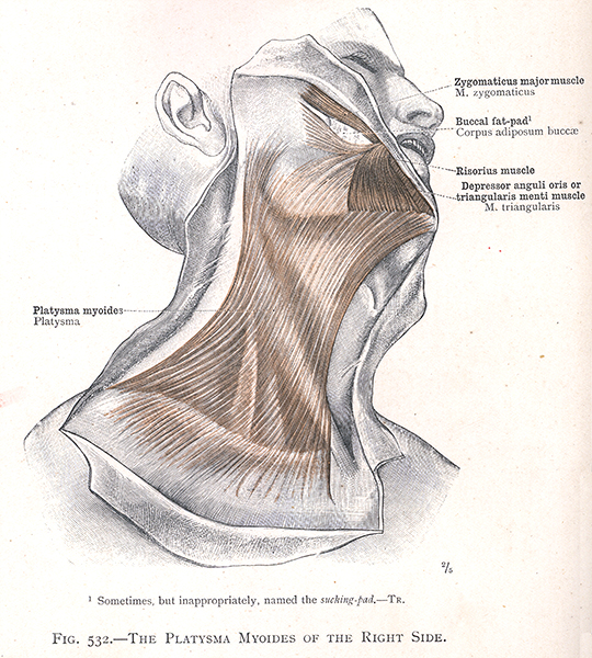 532. the platysma myoides of the right side, Skeleton