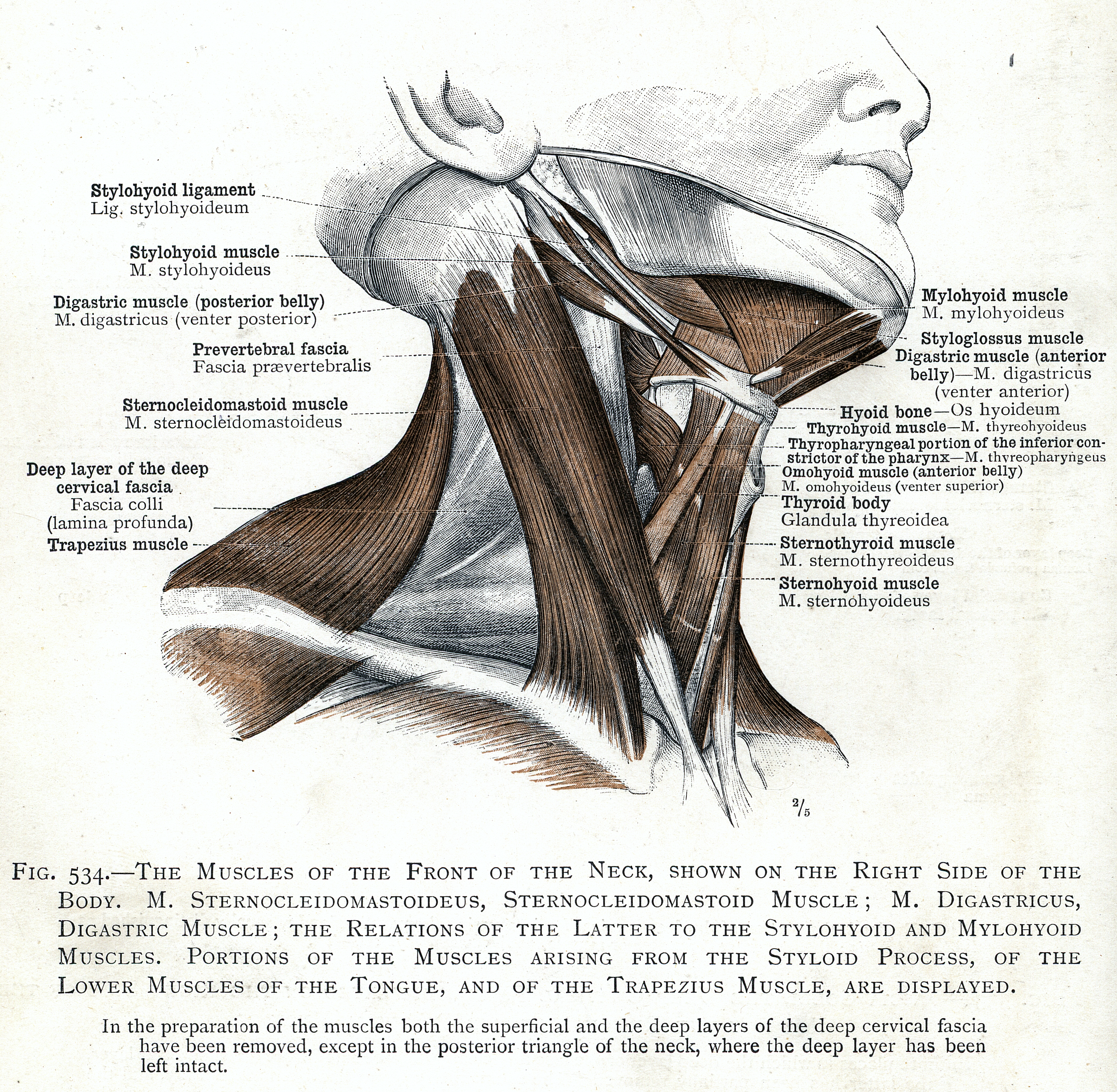 534. The muscles of the front side of the neck. M ...