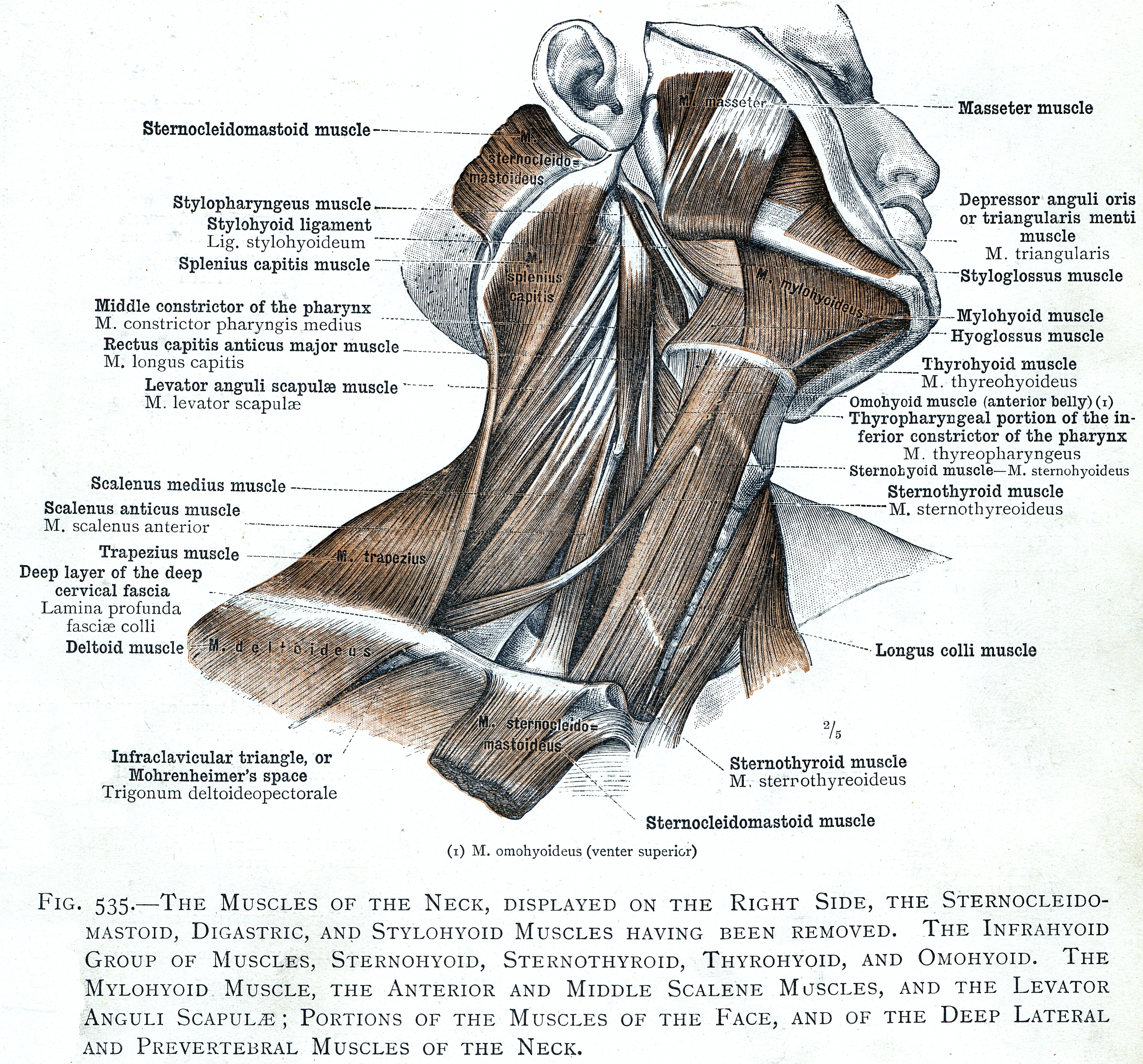 535 The Muscles Of The Neck The Infrahyoid Group Of Muscles