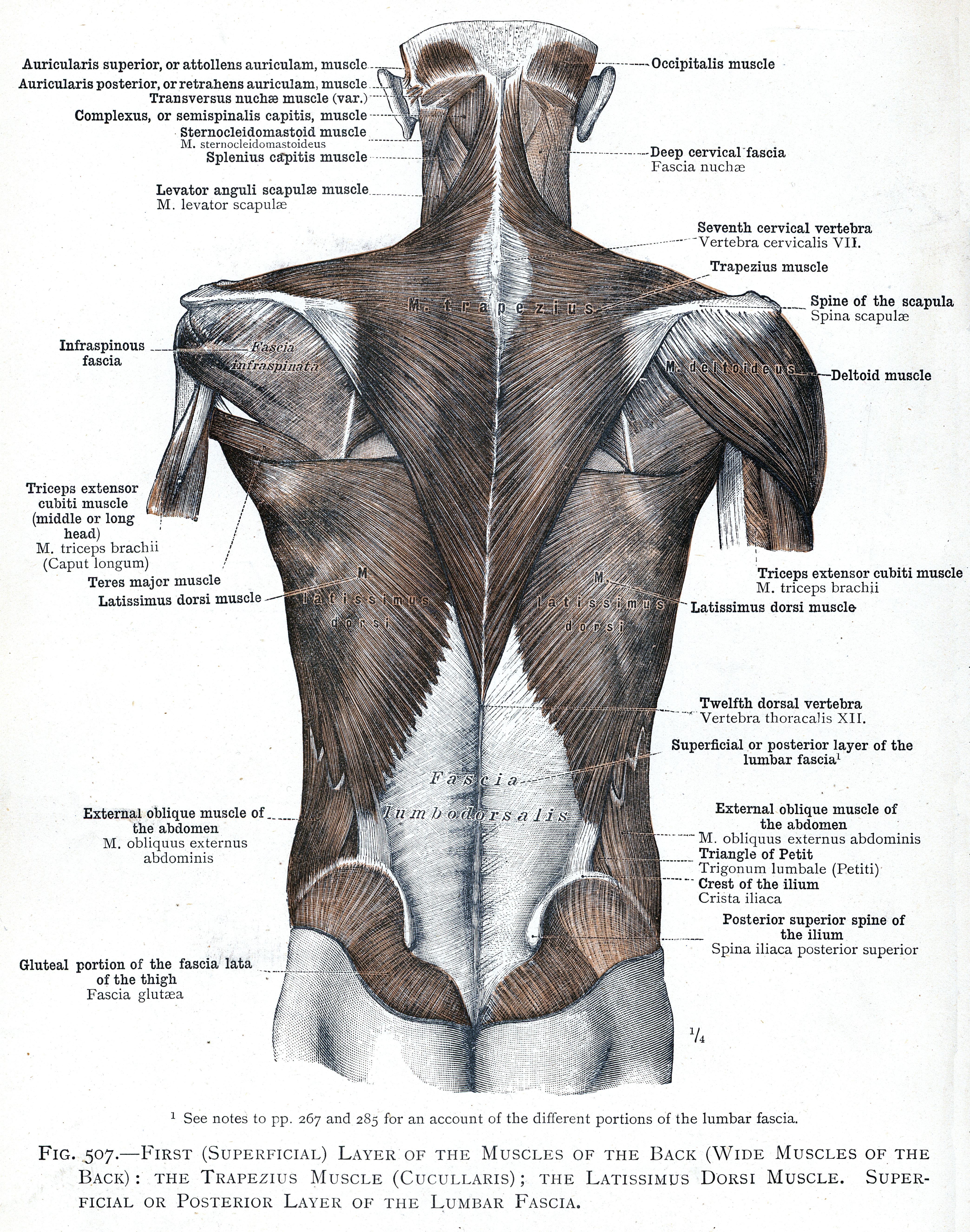 507. First (superficial) layer of the muscles of the back (wide ...