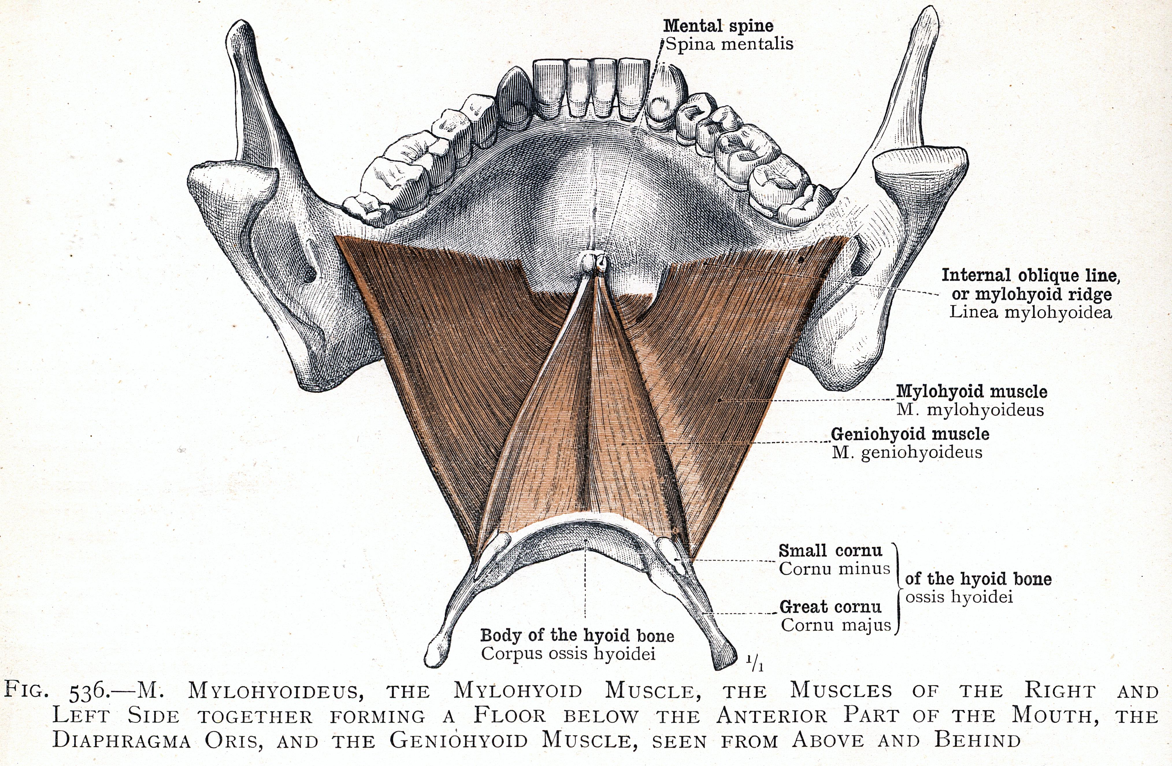Mylohyoid muscle - Wikipedia