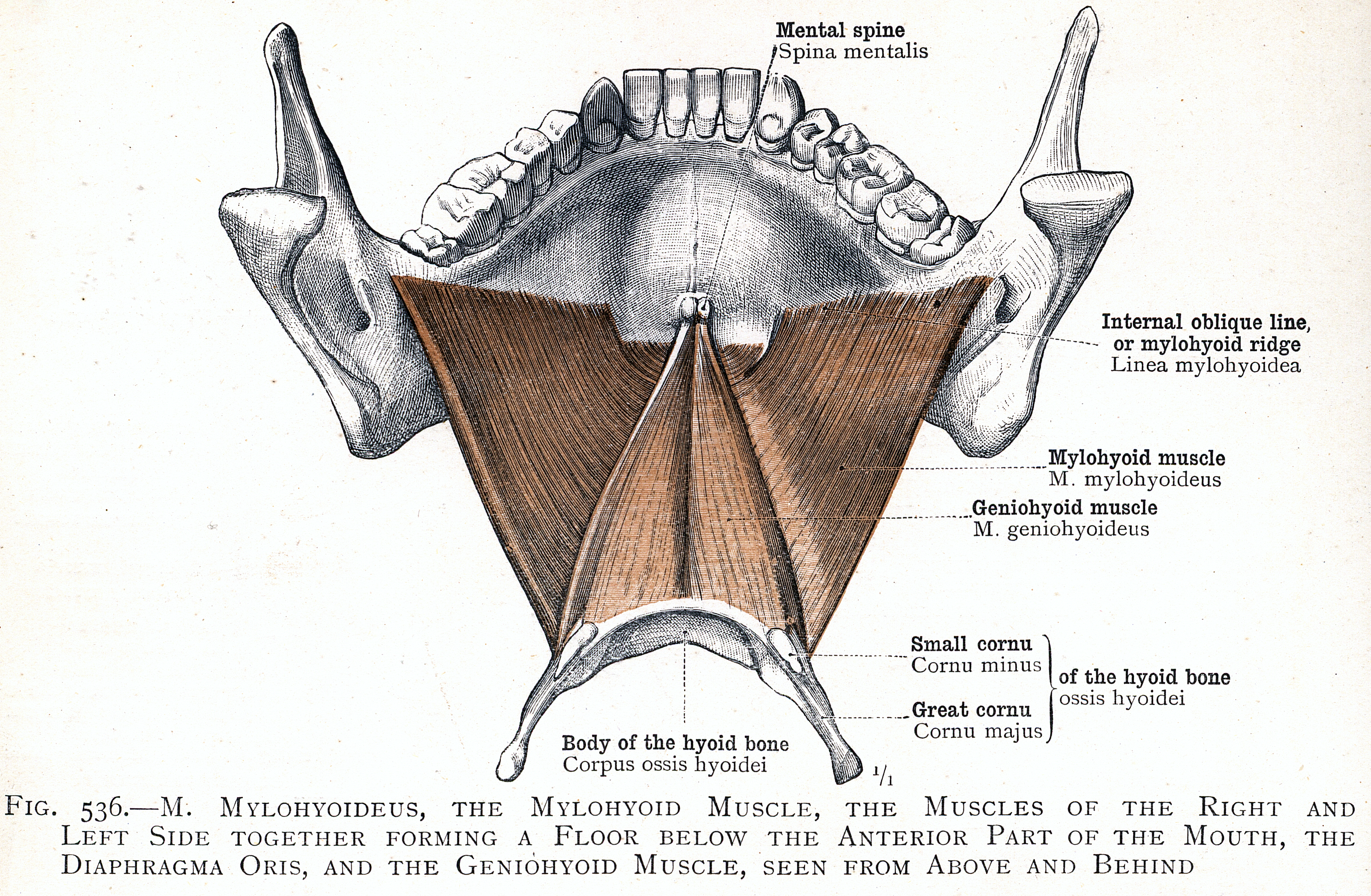 536. M. mylohyoideus, the mylohyoid muscle, the diaphragma oris, and ...