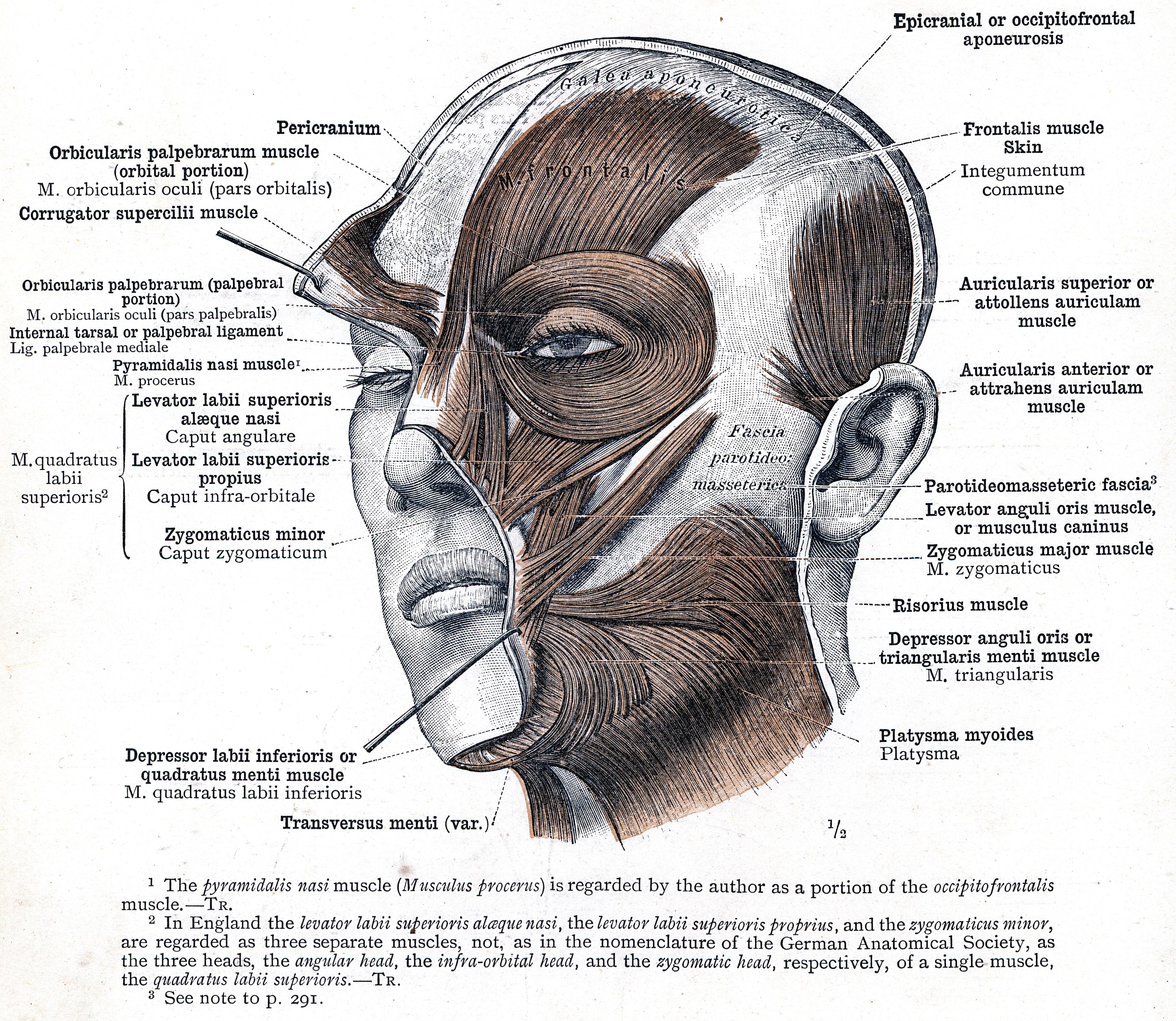 545 The Superficial Layer Of The Muscles Of Facial Expression And