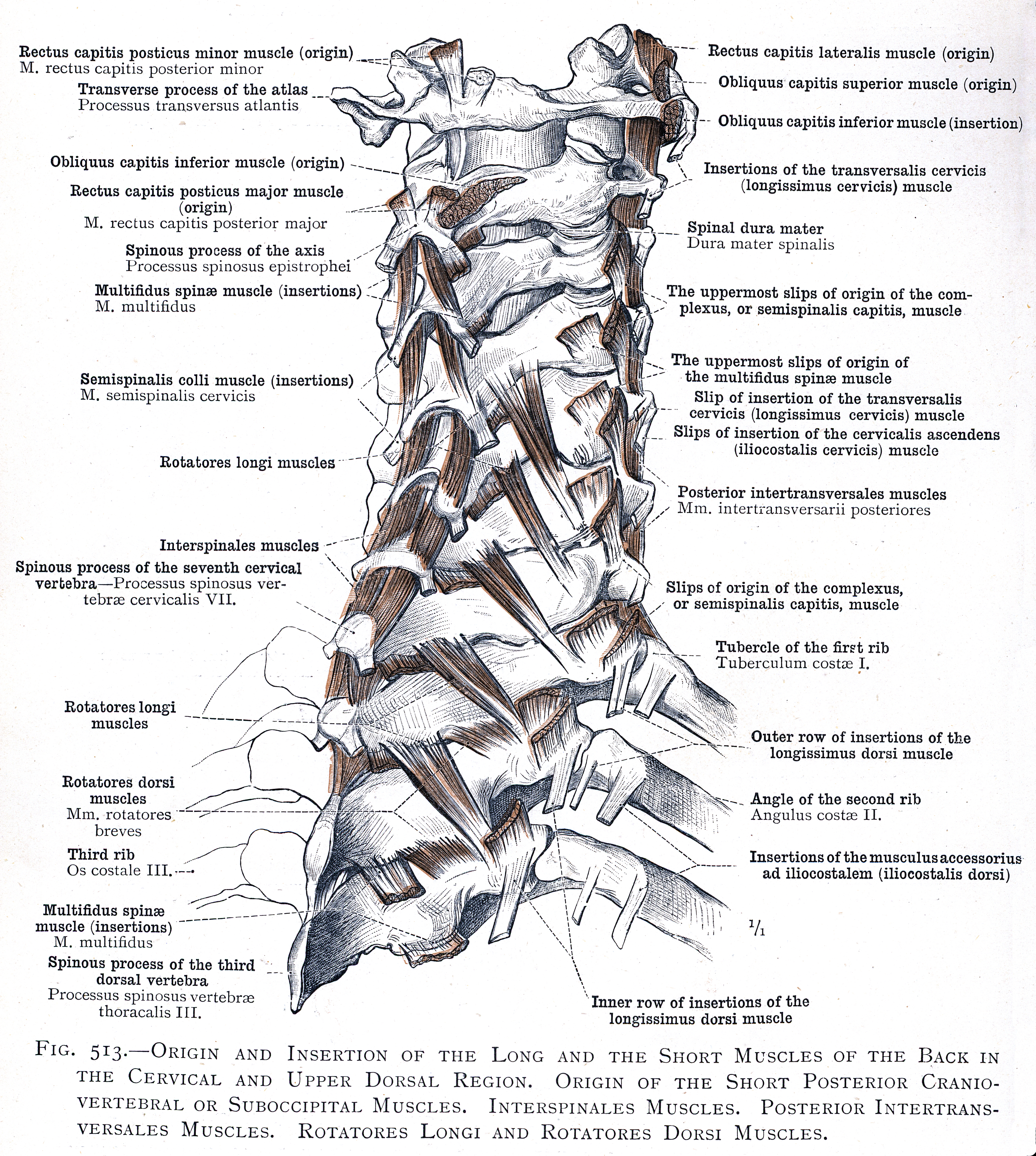 513 Origin And Insertion Of The Long And The Short Muscles Of The