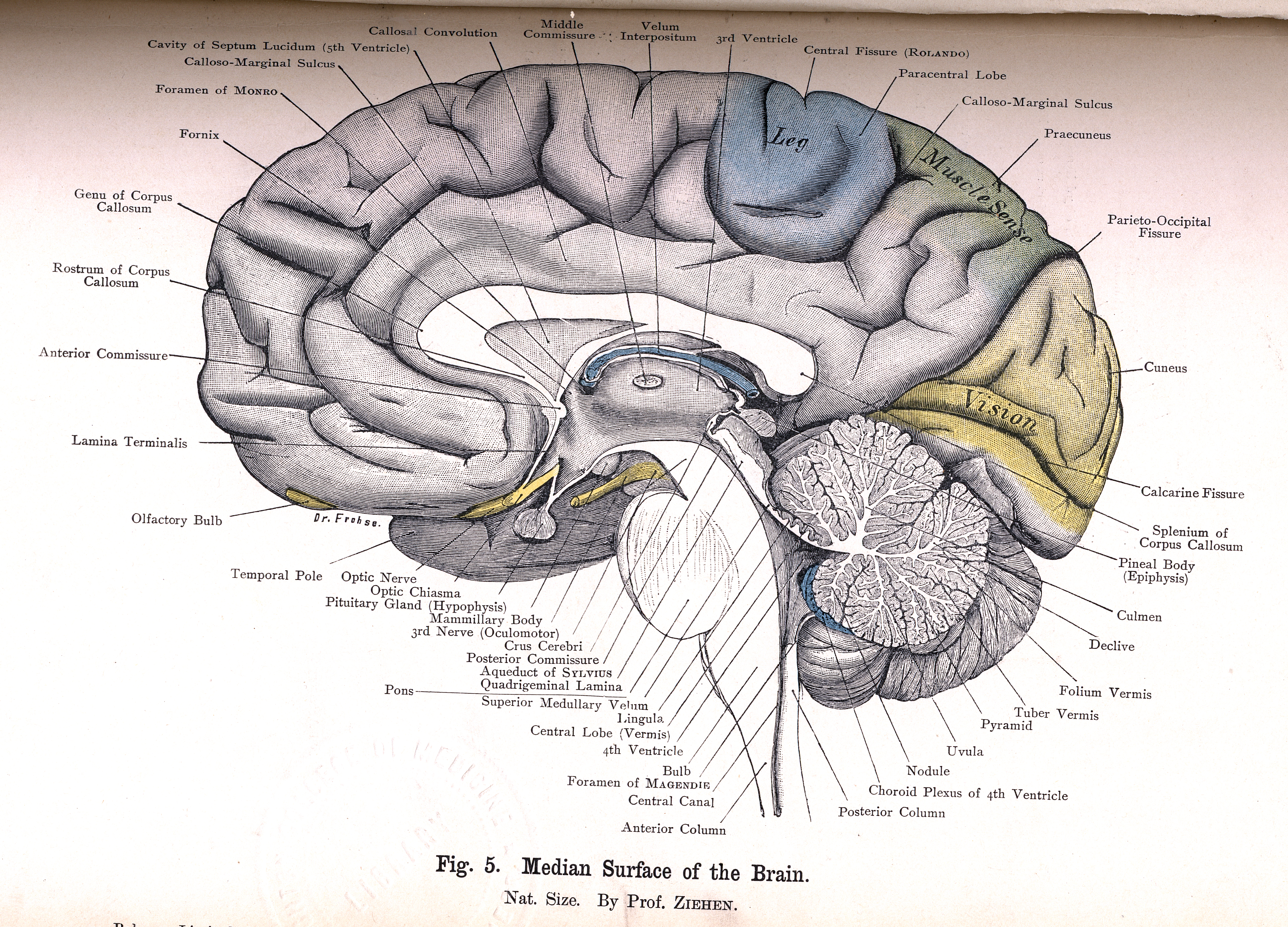 5. Median Surface of the Brain