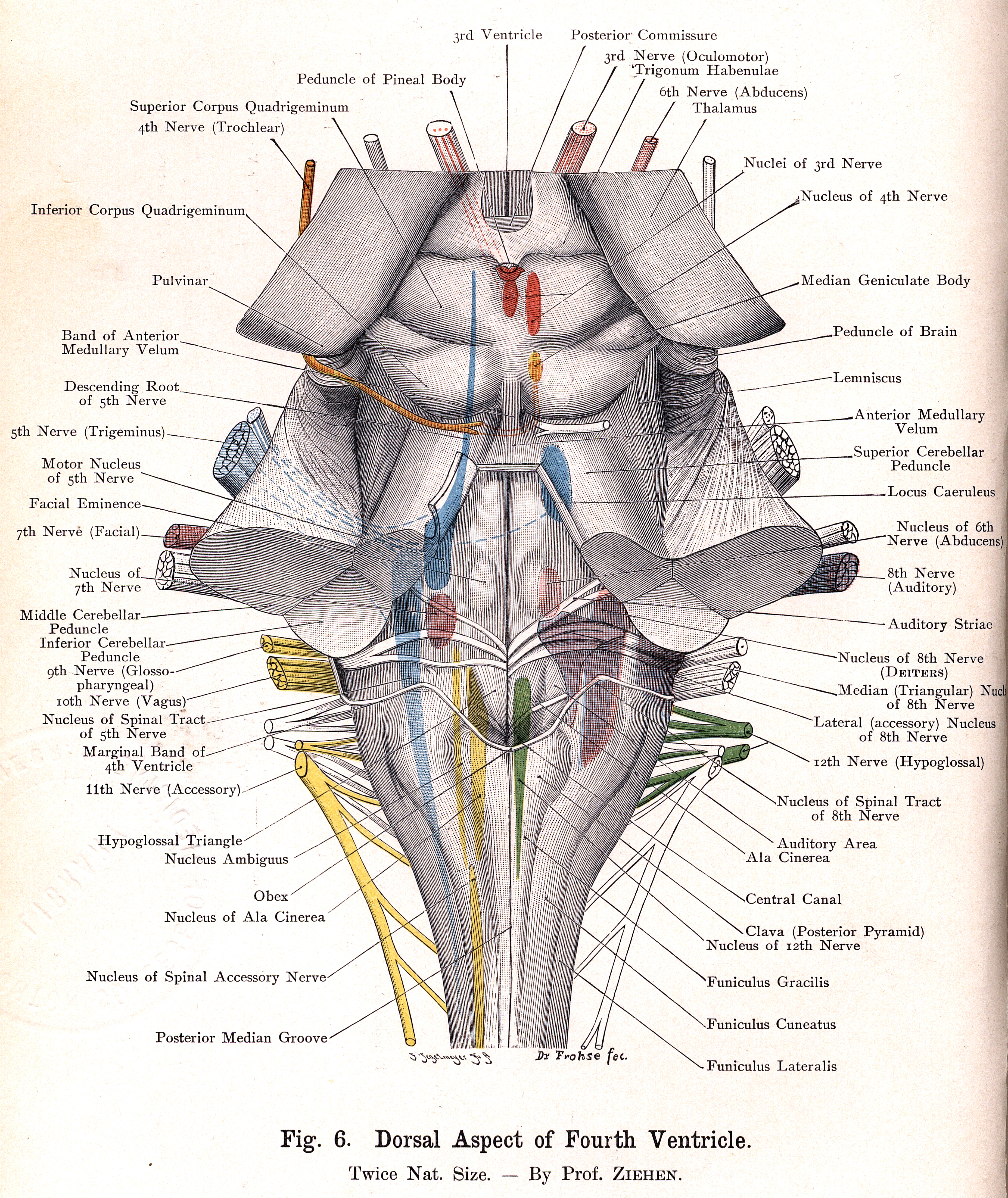 6. Dorsal Aspect of Fourth Ventricle