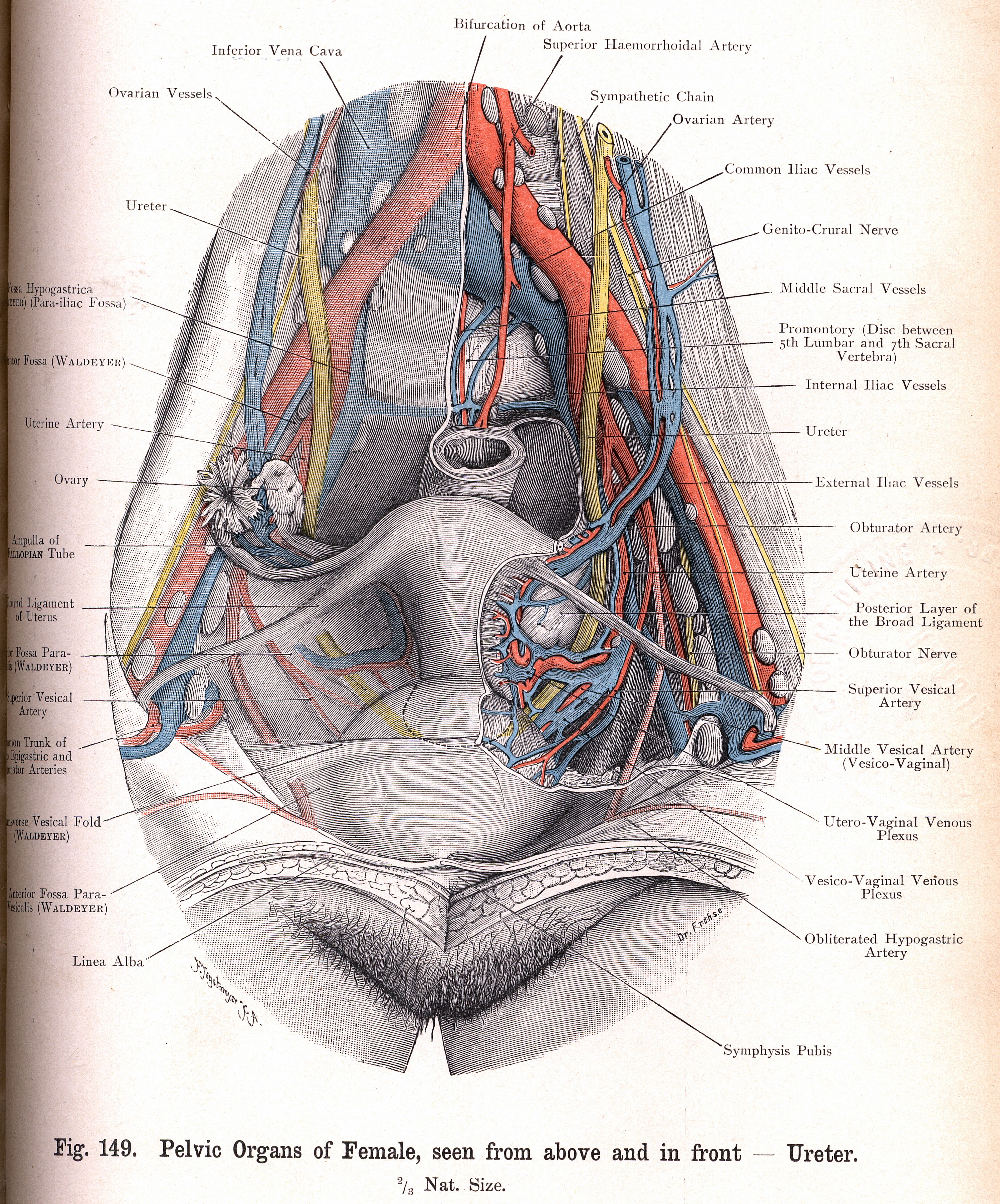 149 Female Pelvic Organs Seen From In Front And Above Ureter