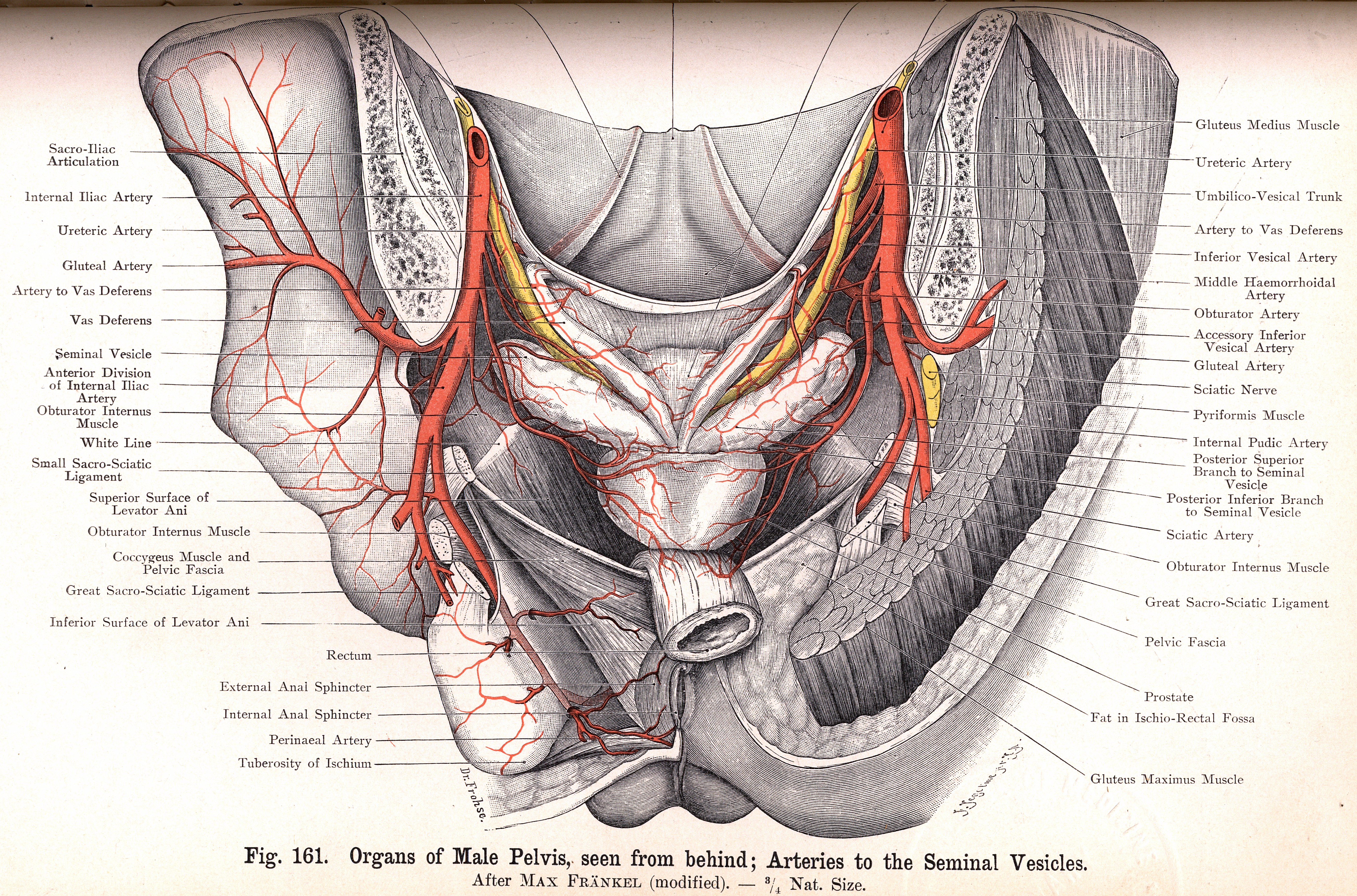 161 Male Pelvic Organs From Behind Arteries To Seminal Vesicles