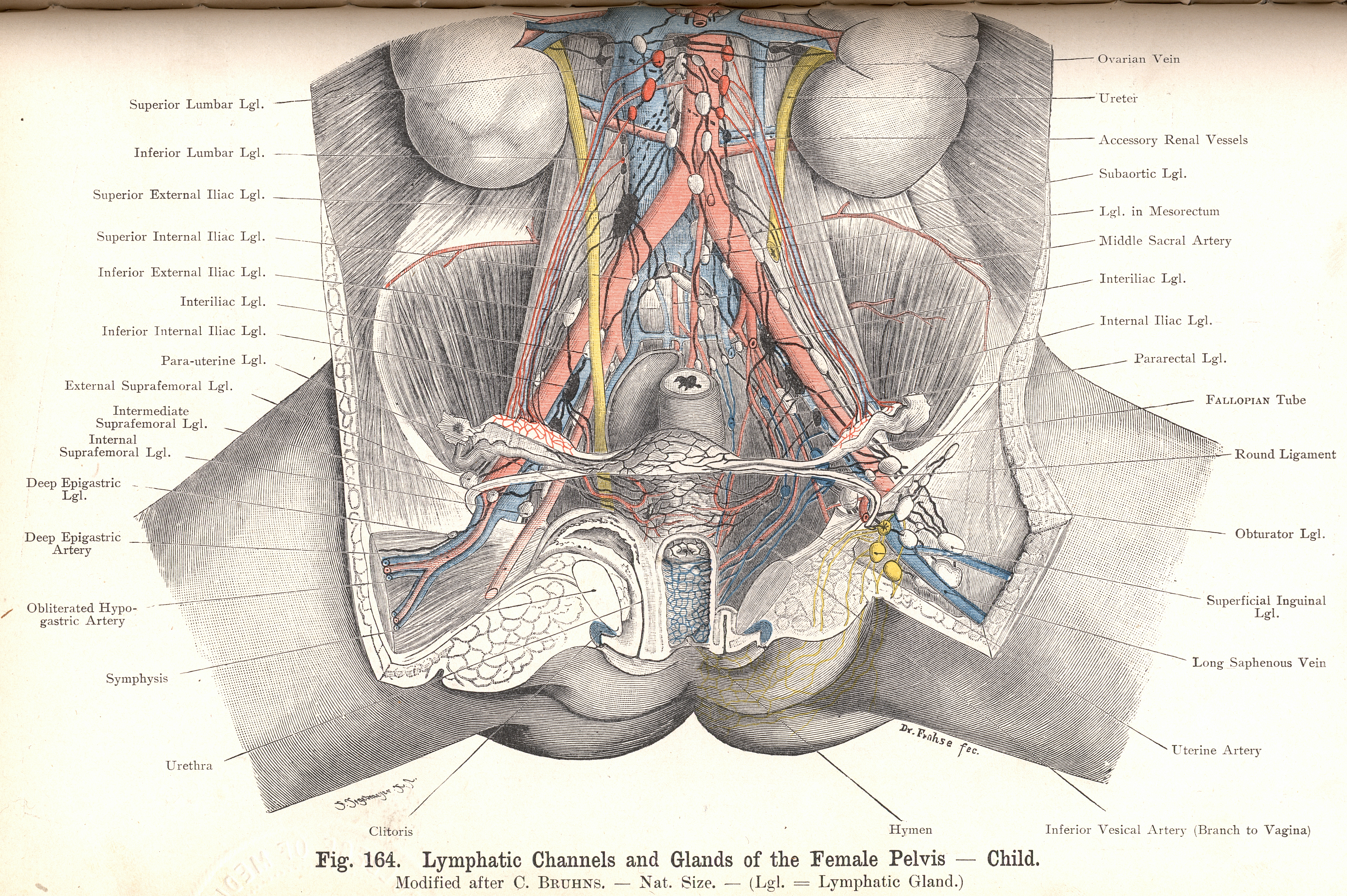 164 Lymphatic Glands And Vessels Of Female Pelvis Child