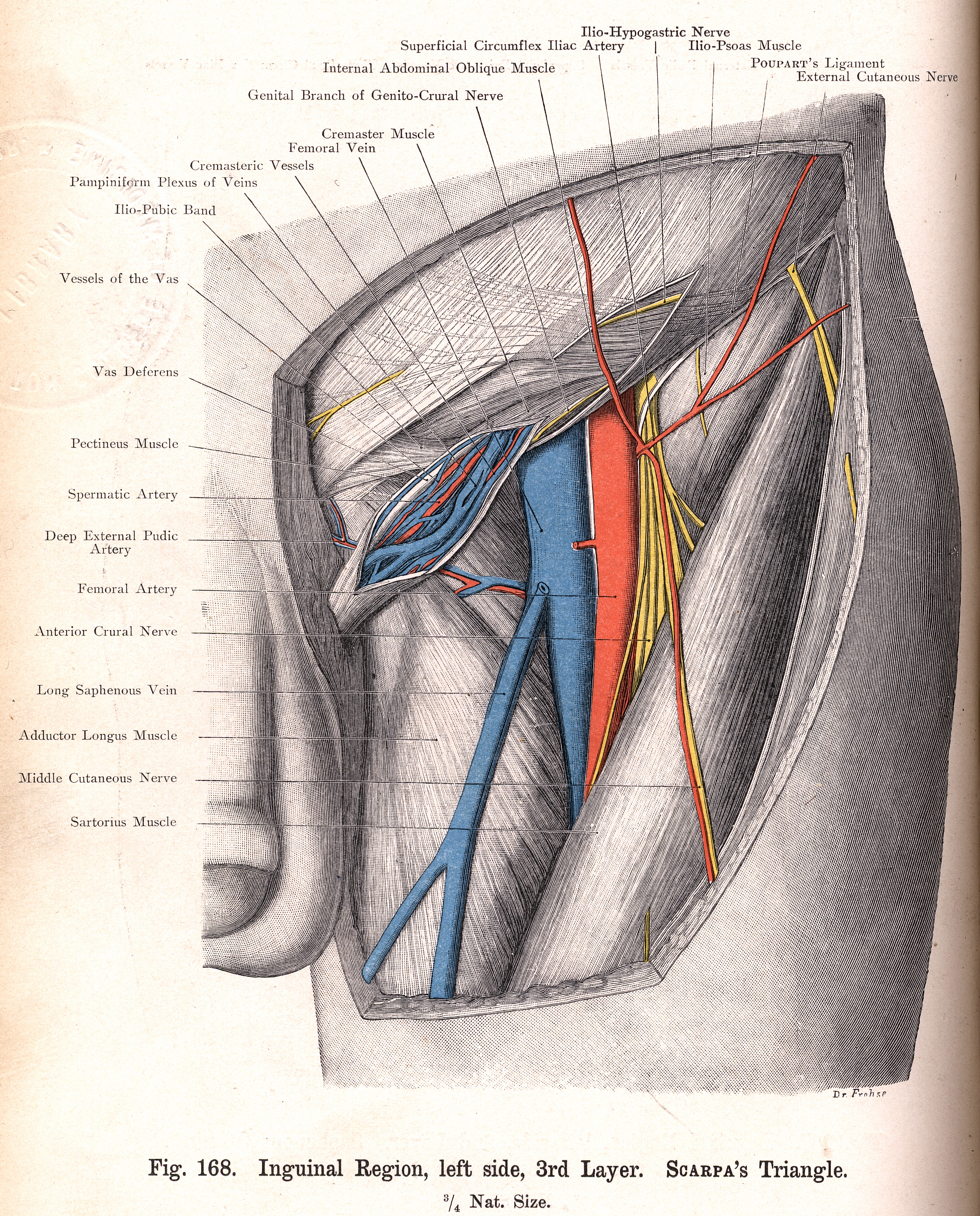 168 Inguinal Region 3rd Layer Scarpas Triangle