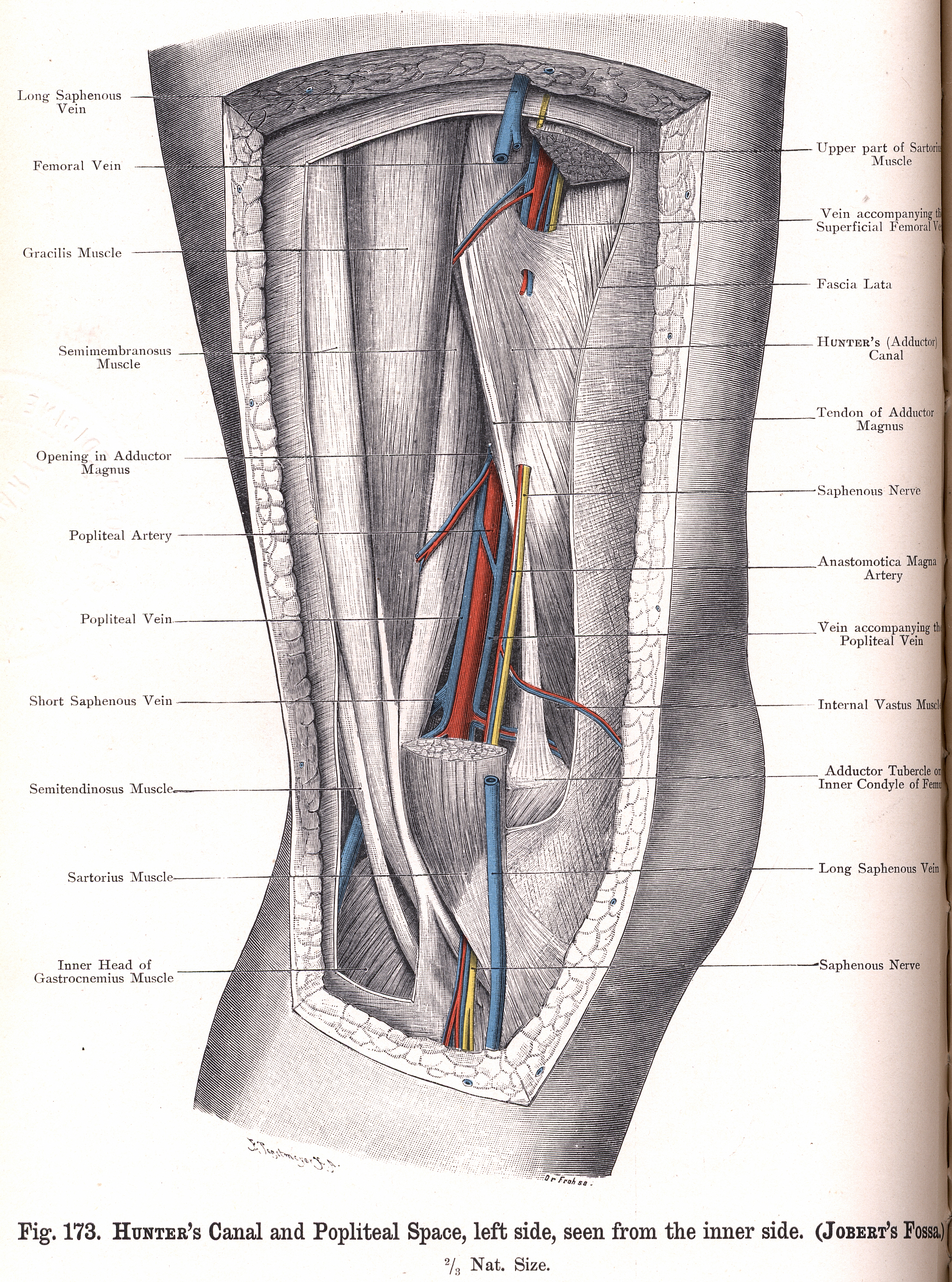 173 Hunters Canal And Popliteal Space Seen From The Inner Side