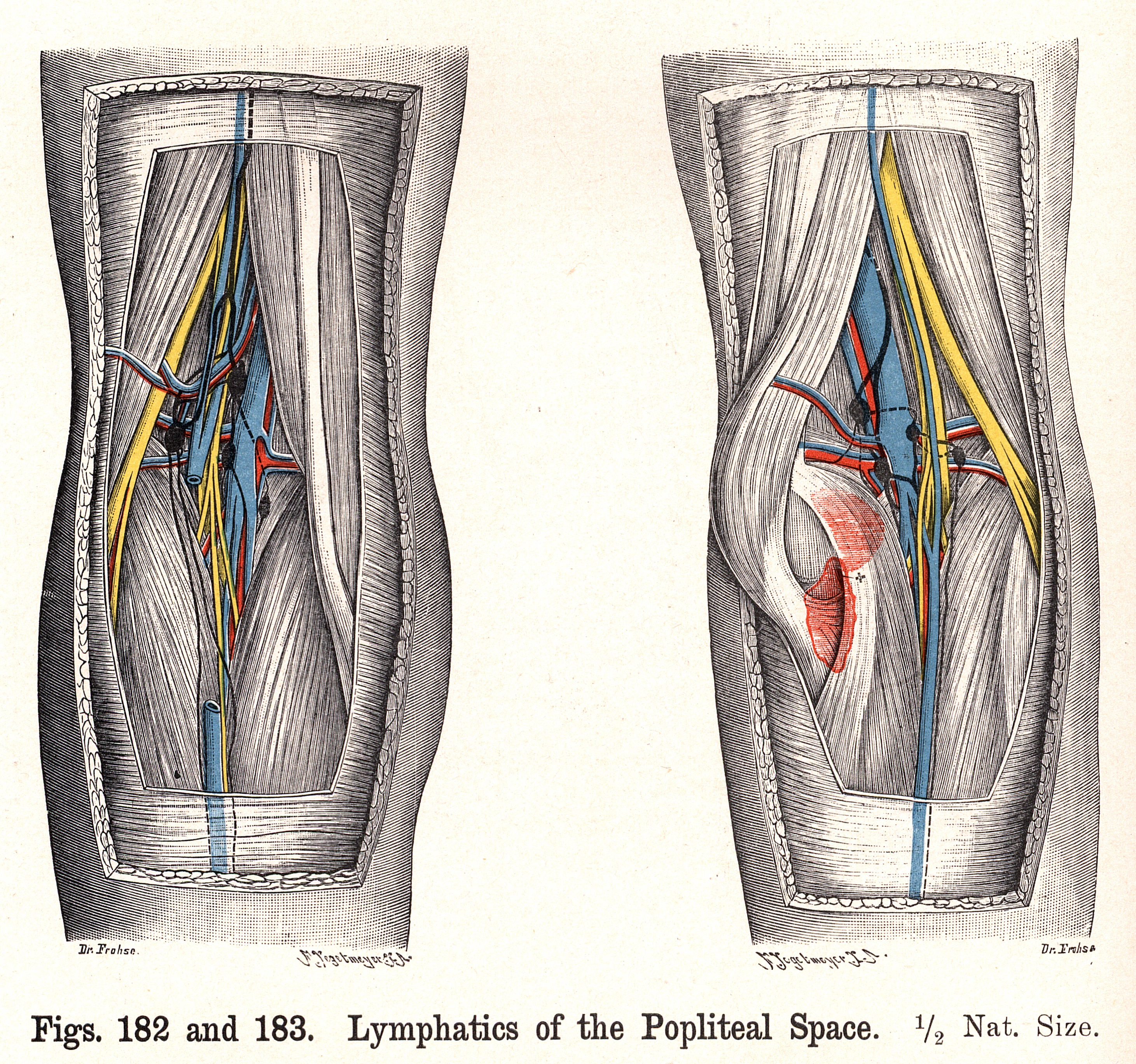 182 183 Lymphatics Of The Popliteal Space