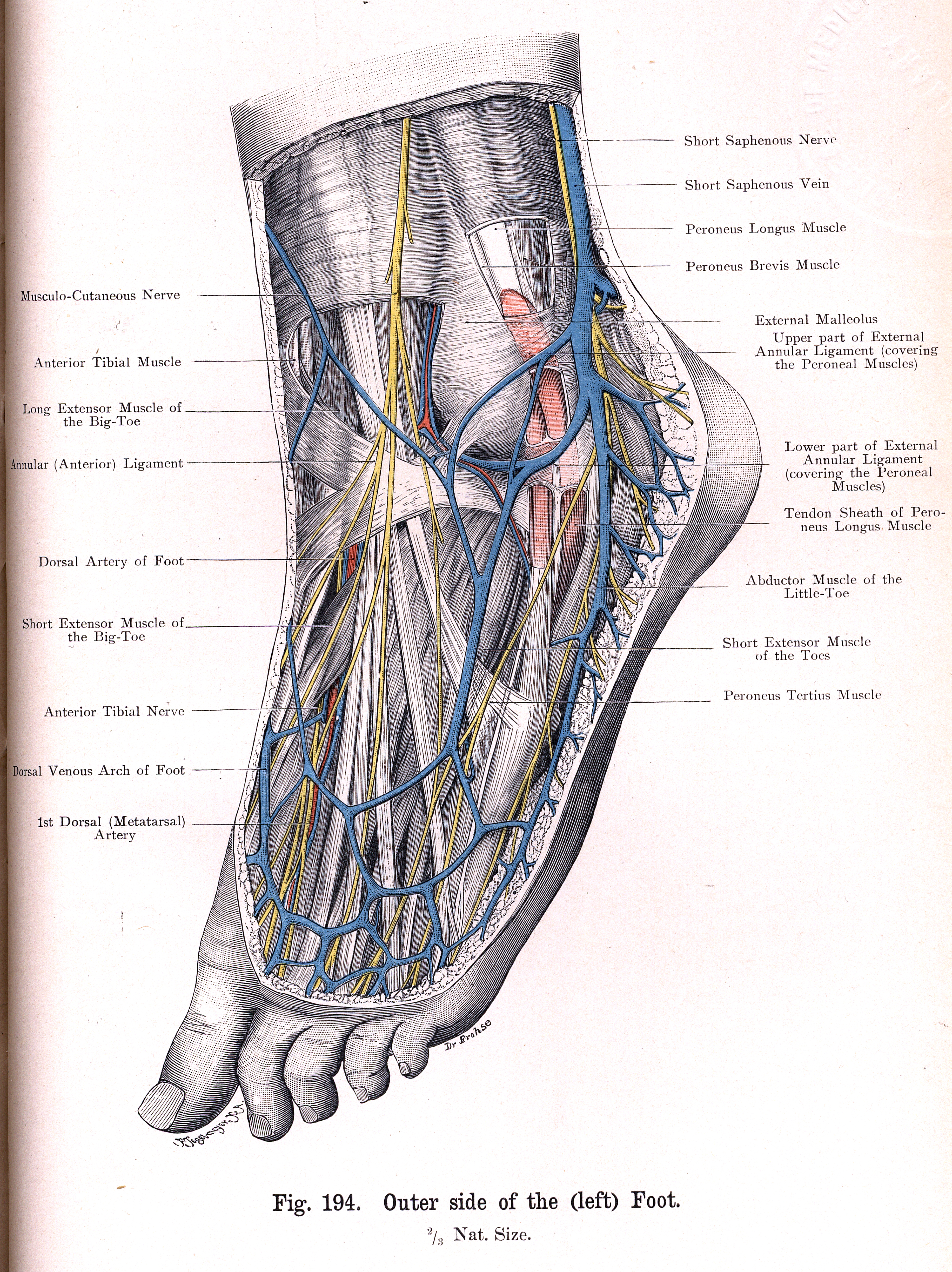 194 Outer Side Of Left Foot