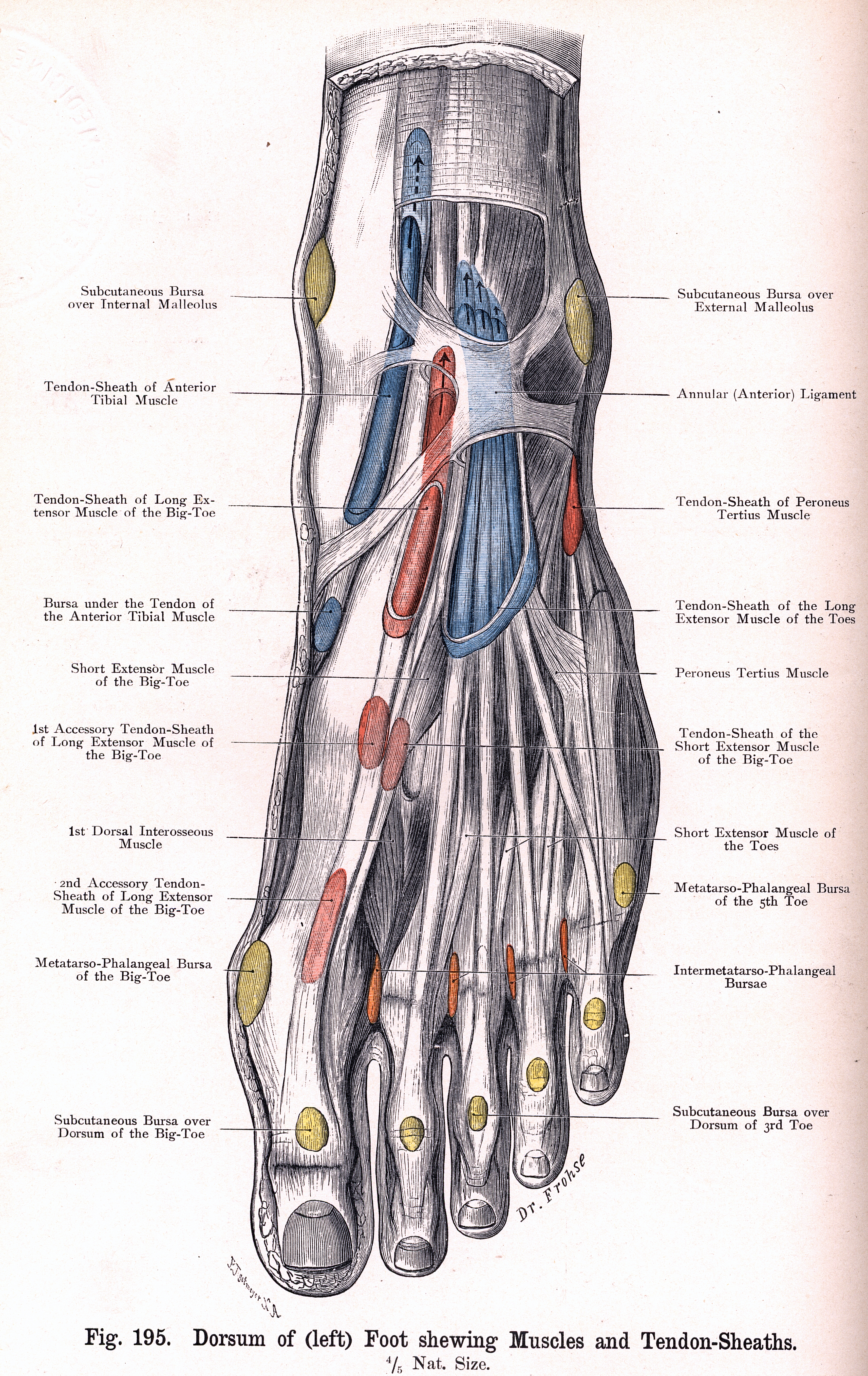 195. dorsum of left foot with muscles and tendon-sheaths, Cephalic Vein