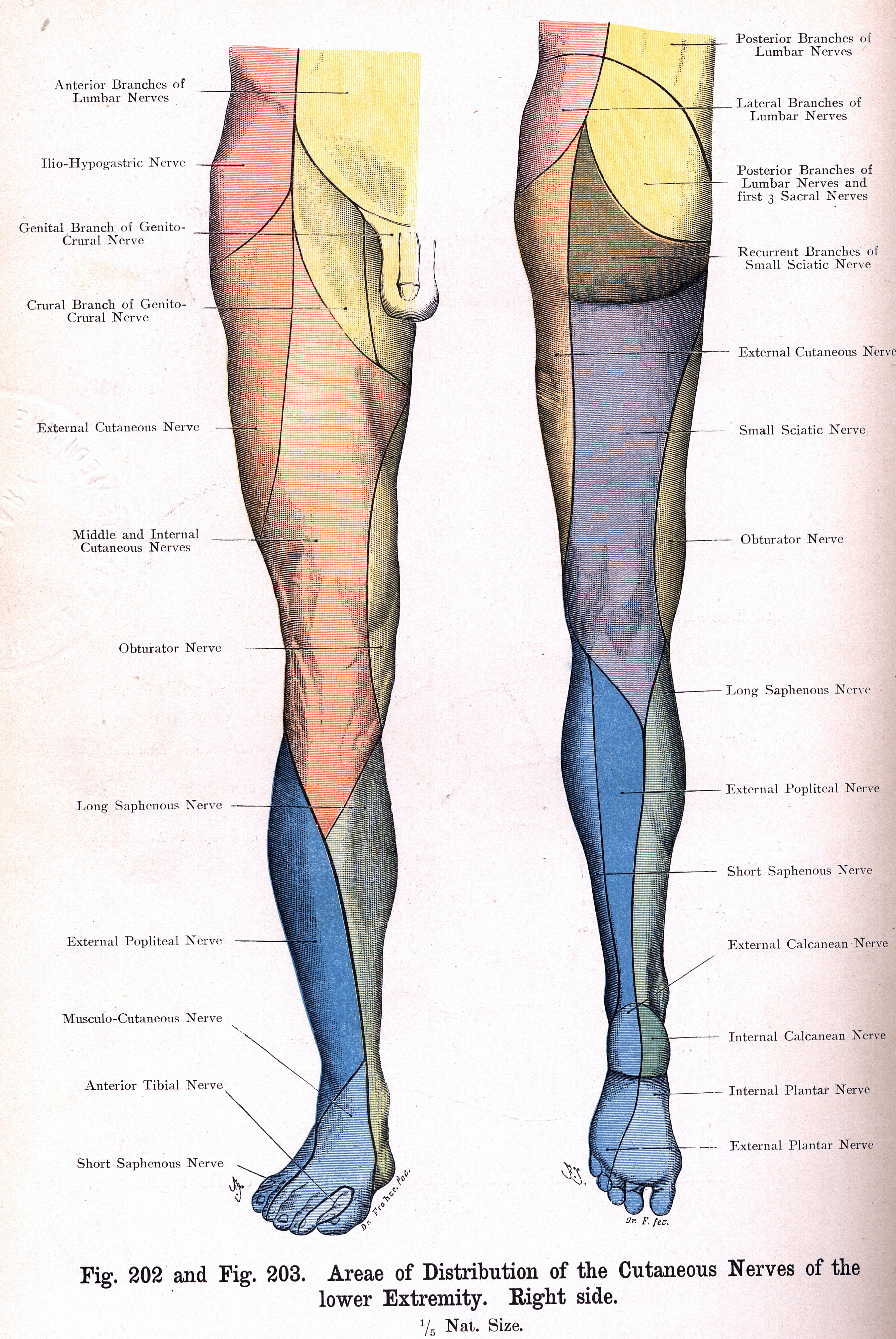 202 203 Areae Of The Cutaneous Nerves Of The Lower Limb Right Side