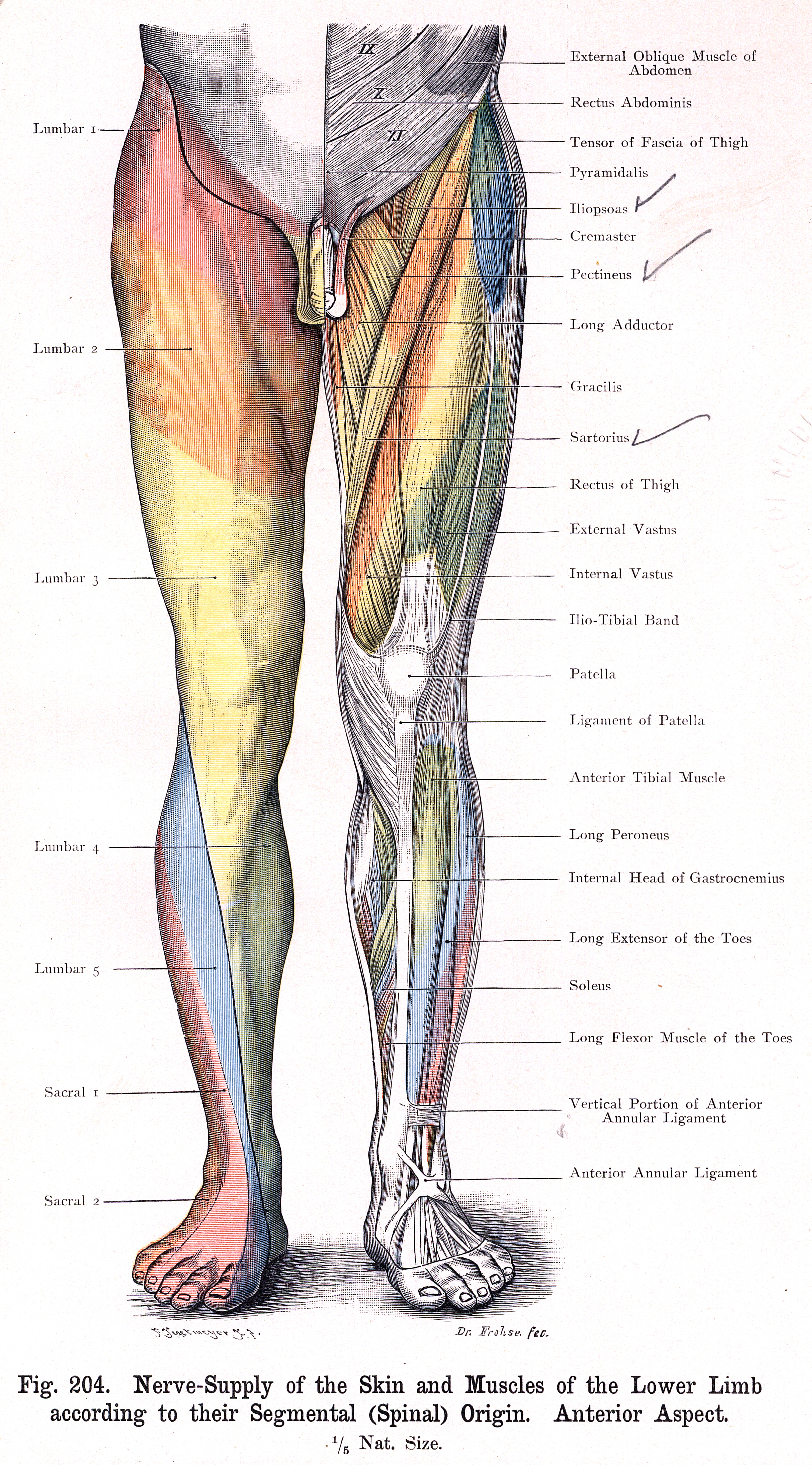 204. Nerve supply of Skin and Muscles of the Lower Limb according to ...