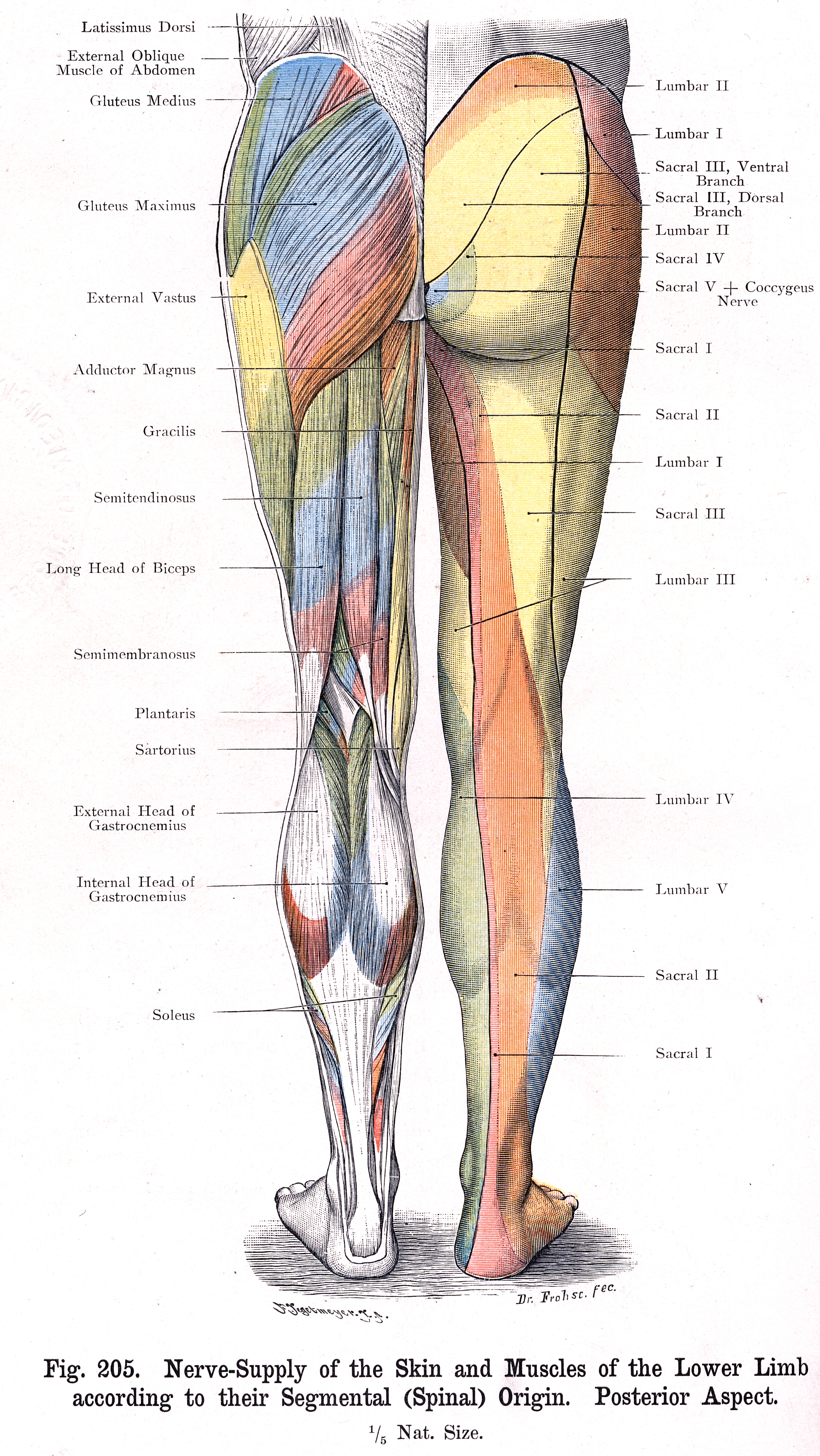 Nerves In The Knee Anatomy Images - human body anatomy