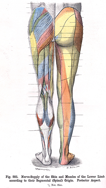 205. Nerve supply of Skin and Muscles of the Lower Limb according to ...