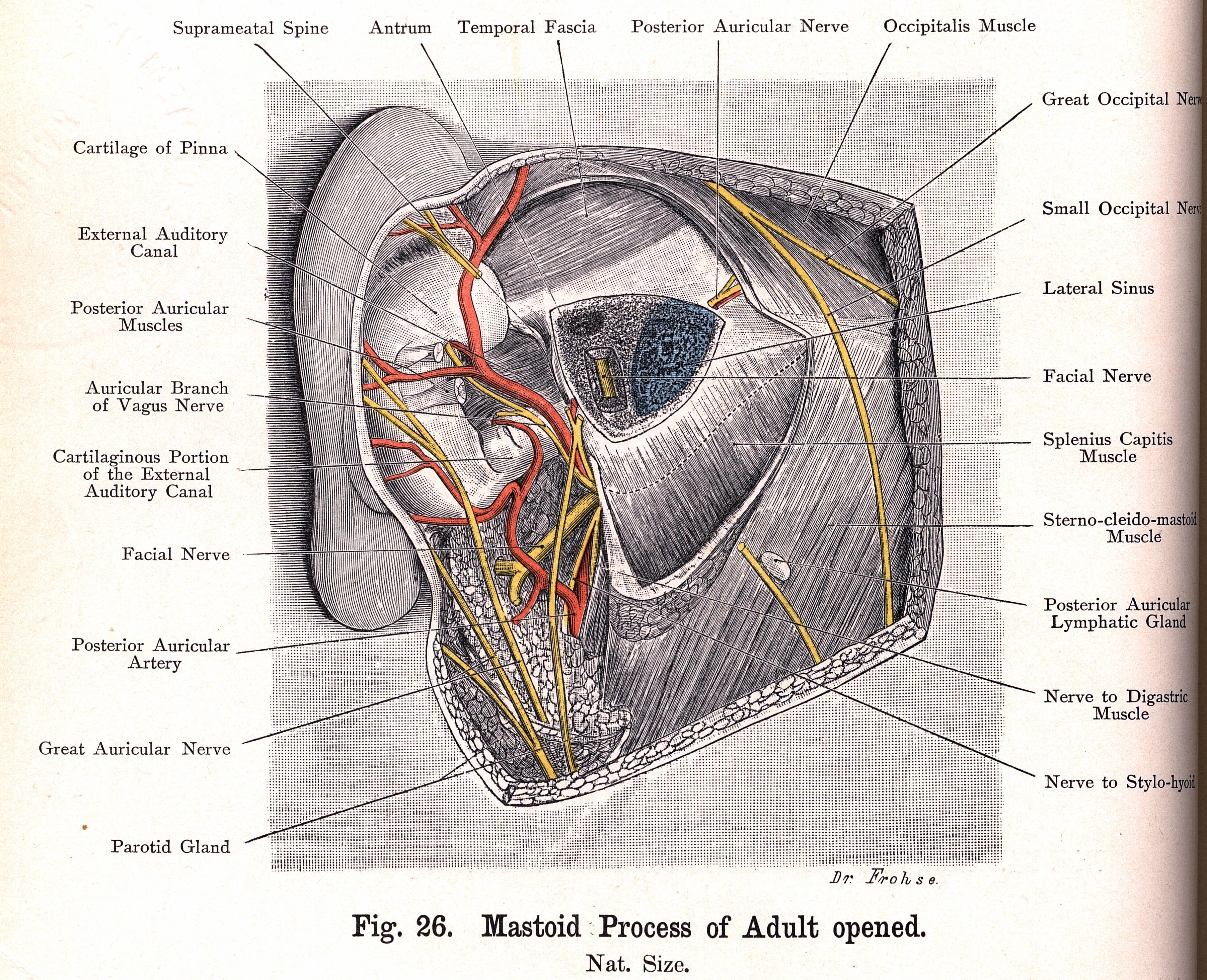 bardeleben_26?sequence=1&isAllowed=y 26 mastoid process of adult opened