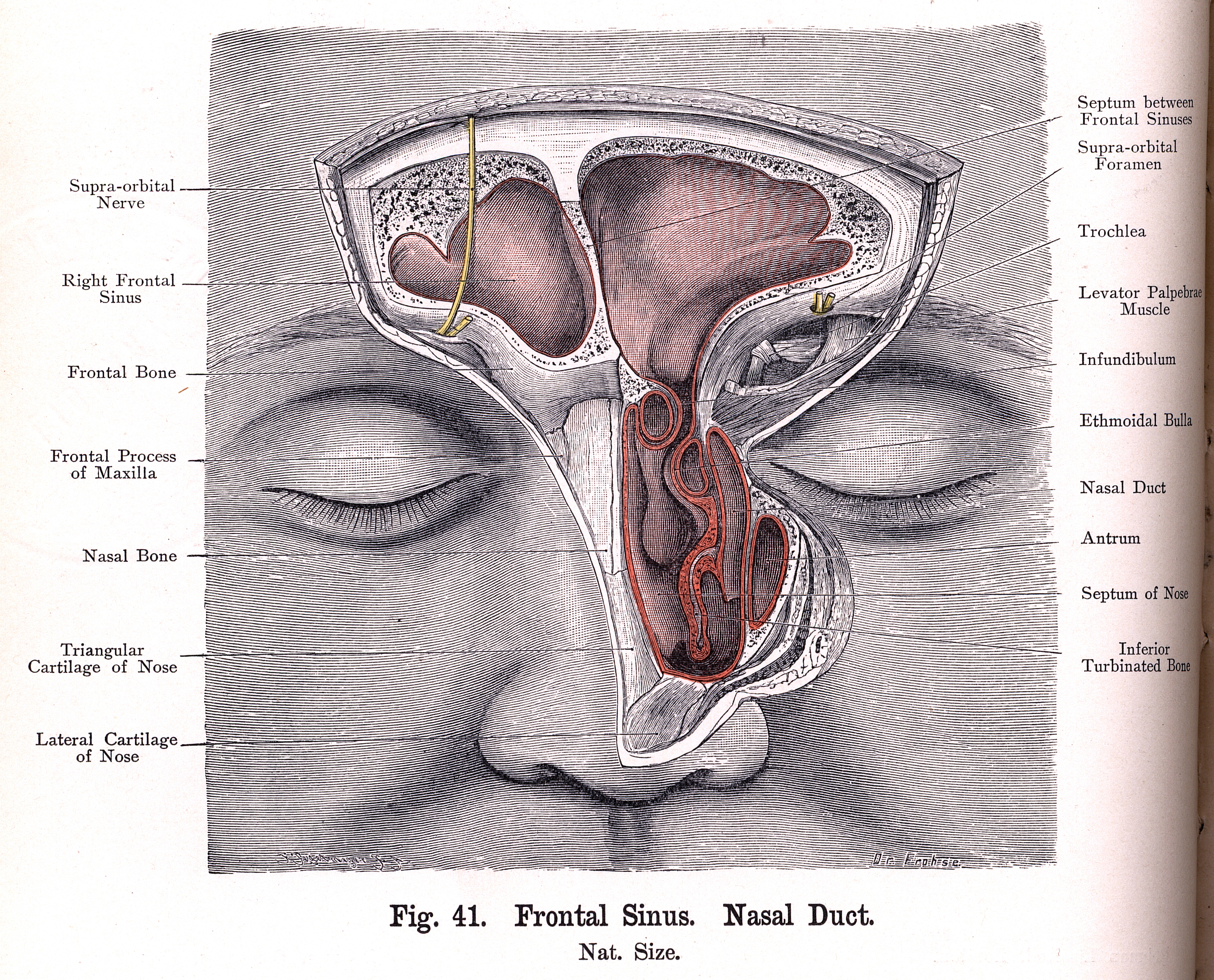 Frontal Sinus Diagram - Search For Wiring Diagrams •