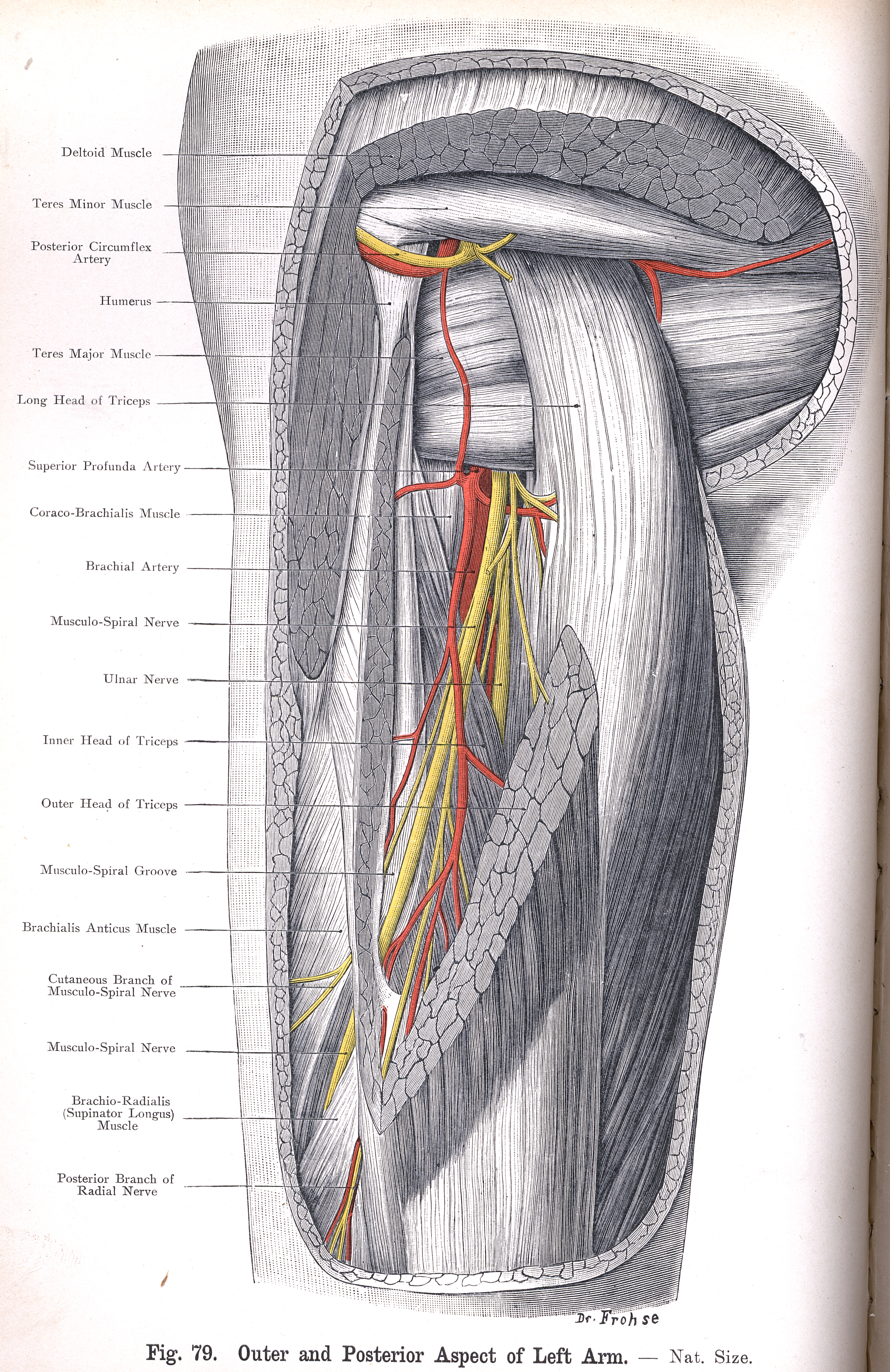 79. Outer and Posterior Aspect of Left Arm