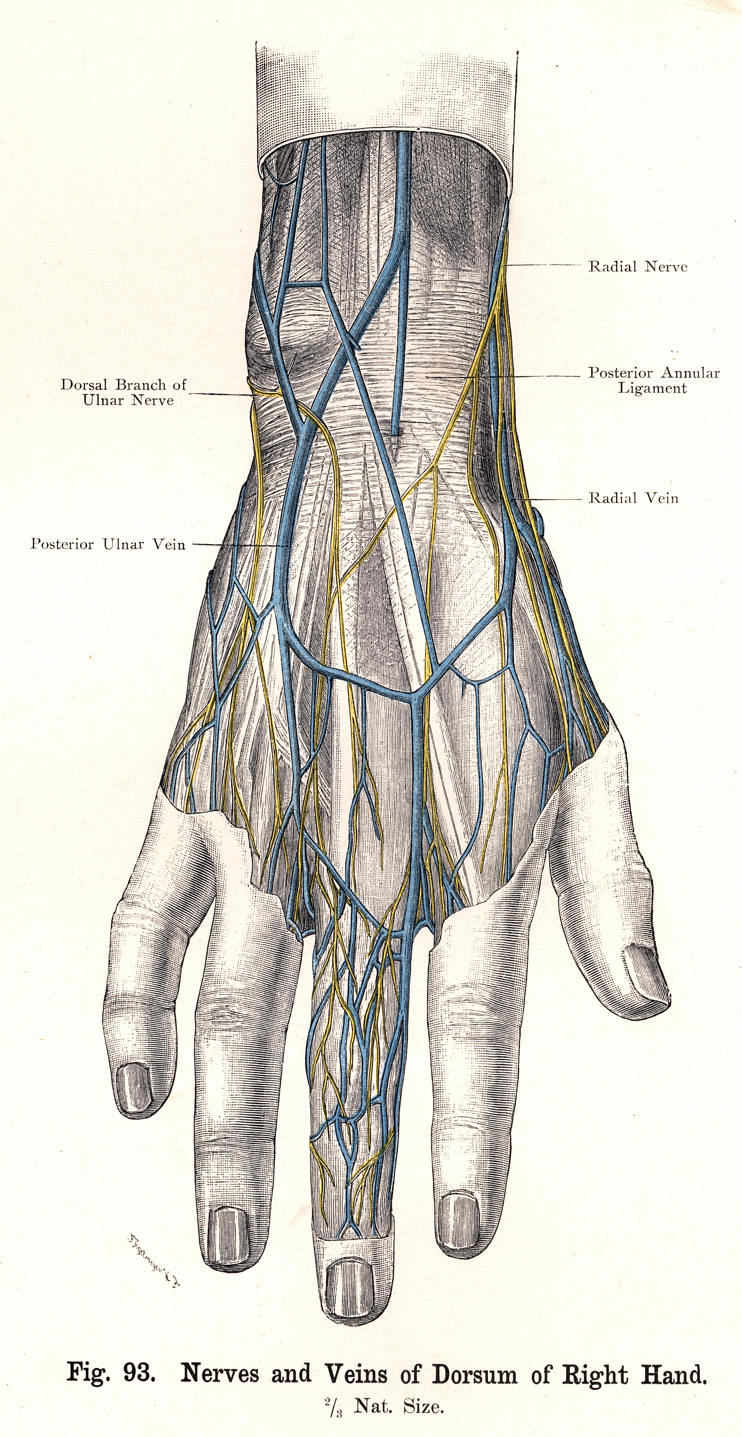 93. Nerves and Veins of Dorsum of Right Hand