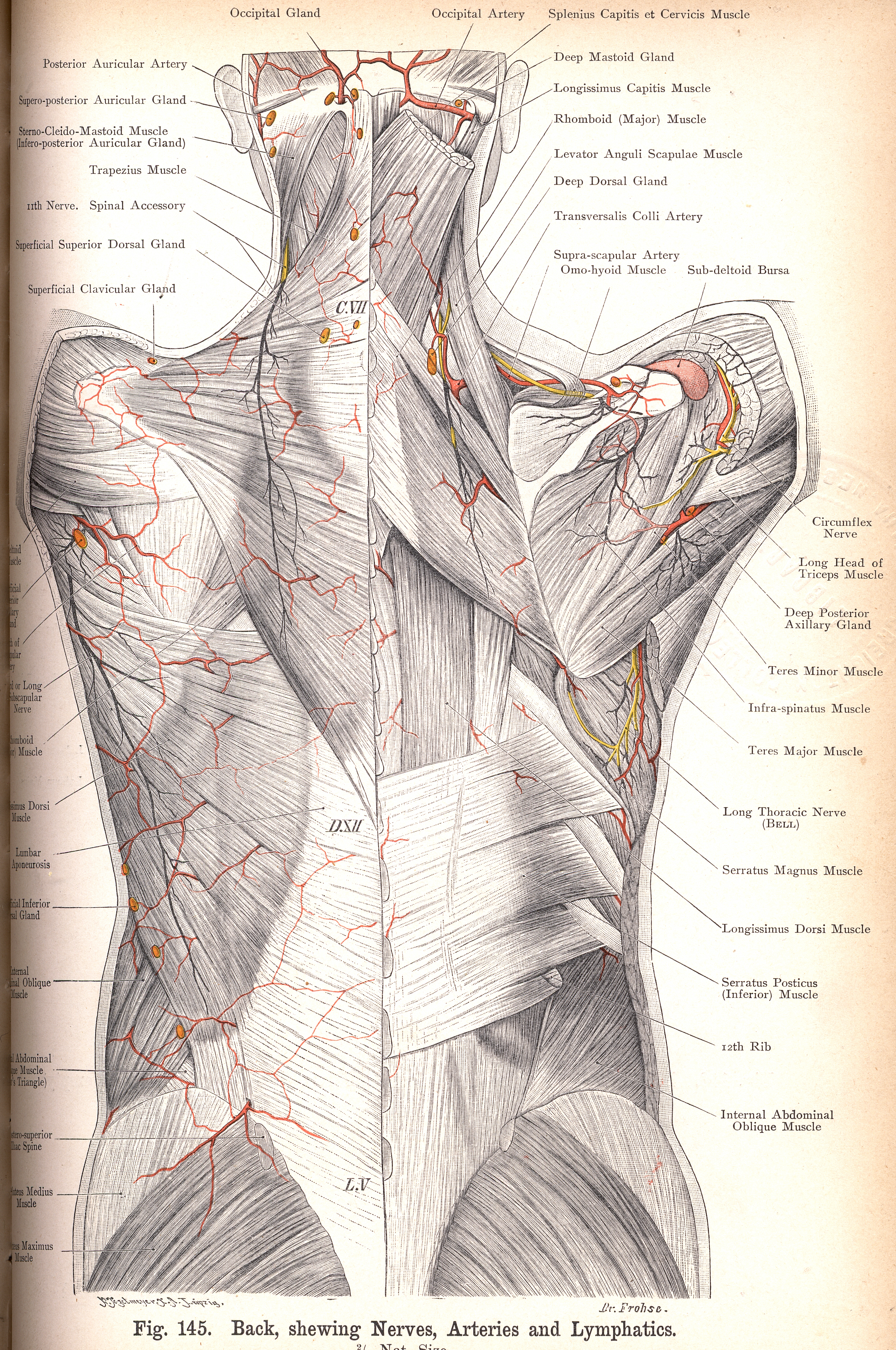 145 Back Showing Nerves Arteries And Lymphatics