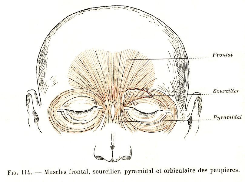 114 Frontalis Muscle Corrugators Supercilii Muscle Procerus