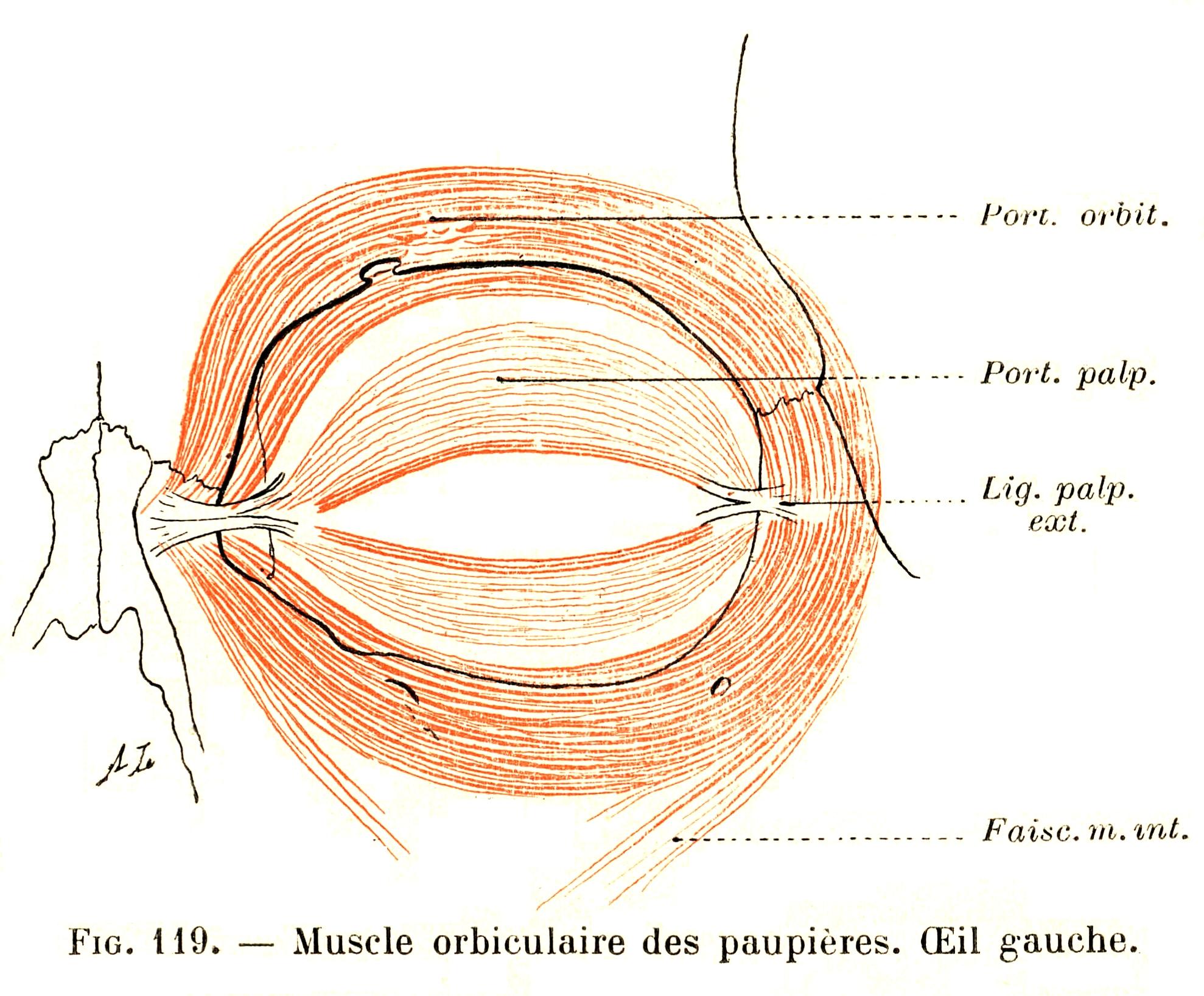 119 Orbicularis Oculi Muscle Left Eye
