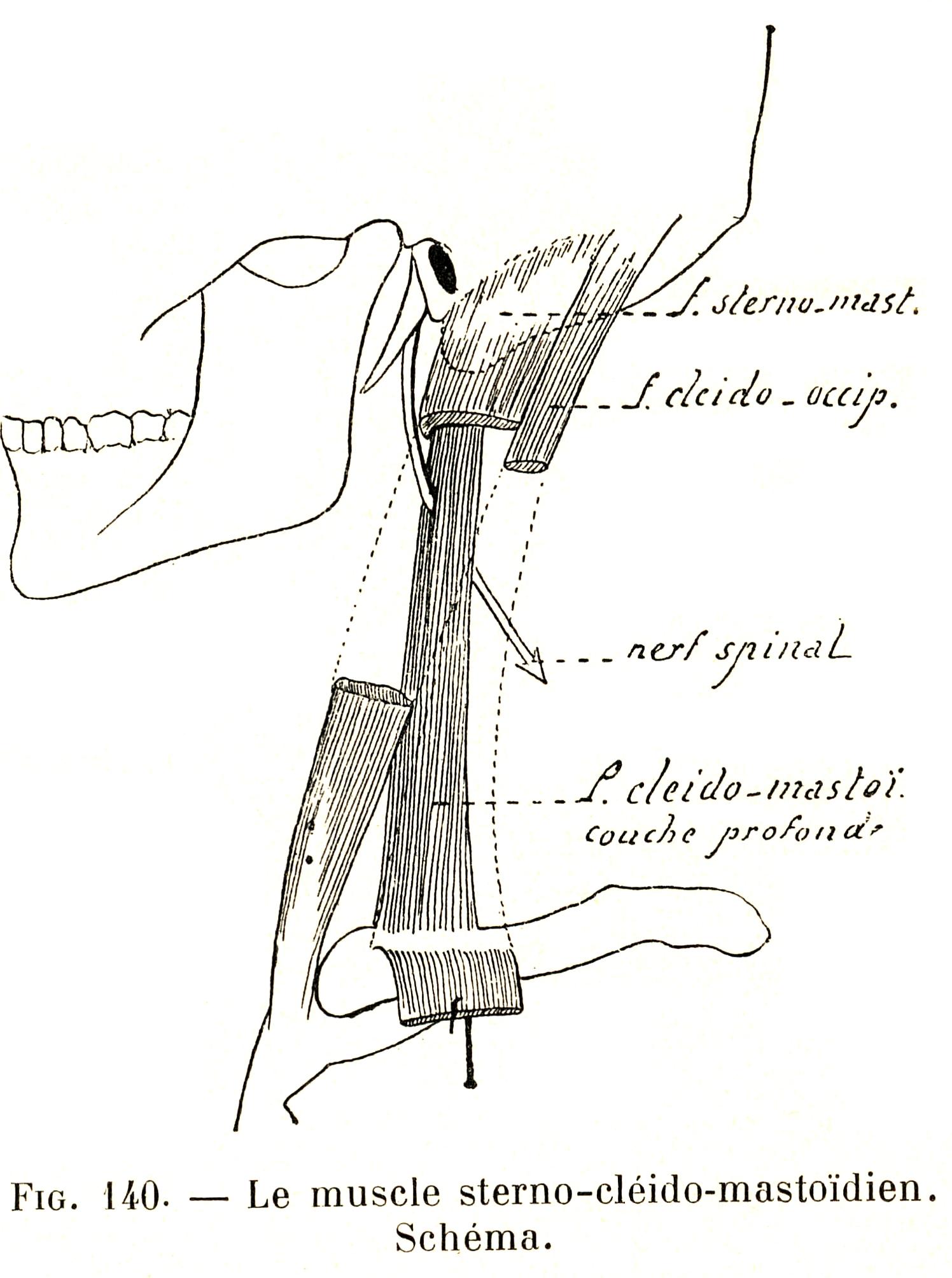 140 Sternocleidomastoid Muscle Diagram