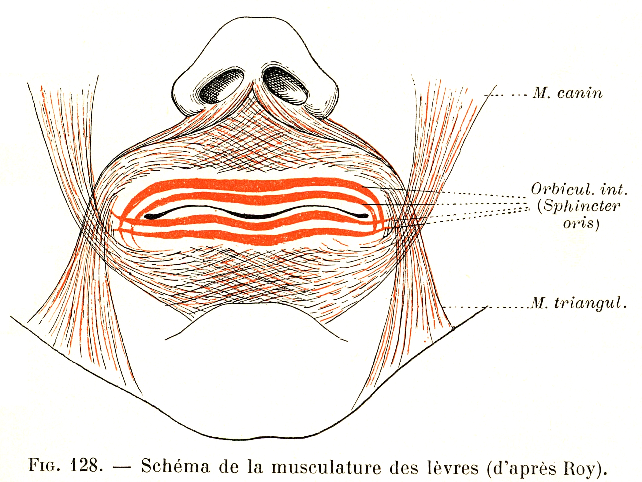 128. Diagram of the lip muscles