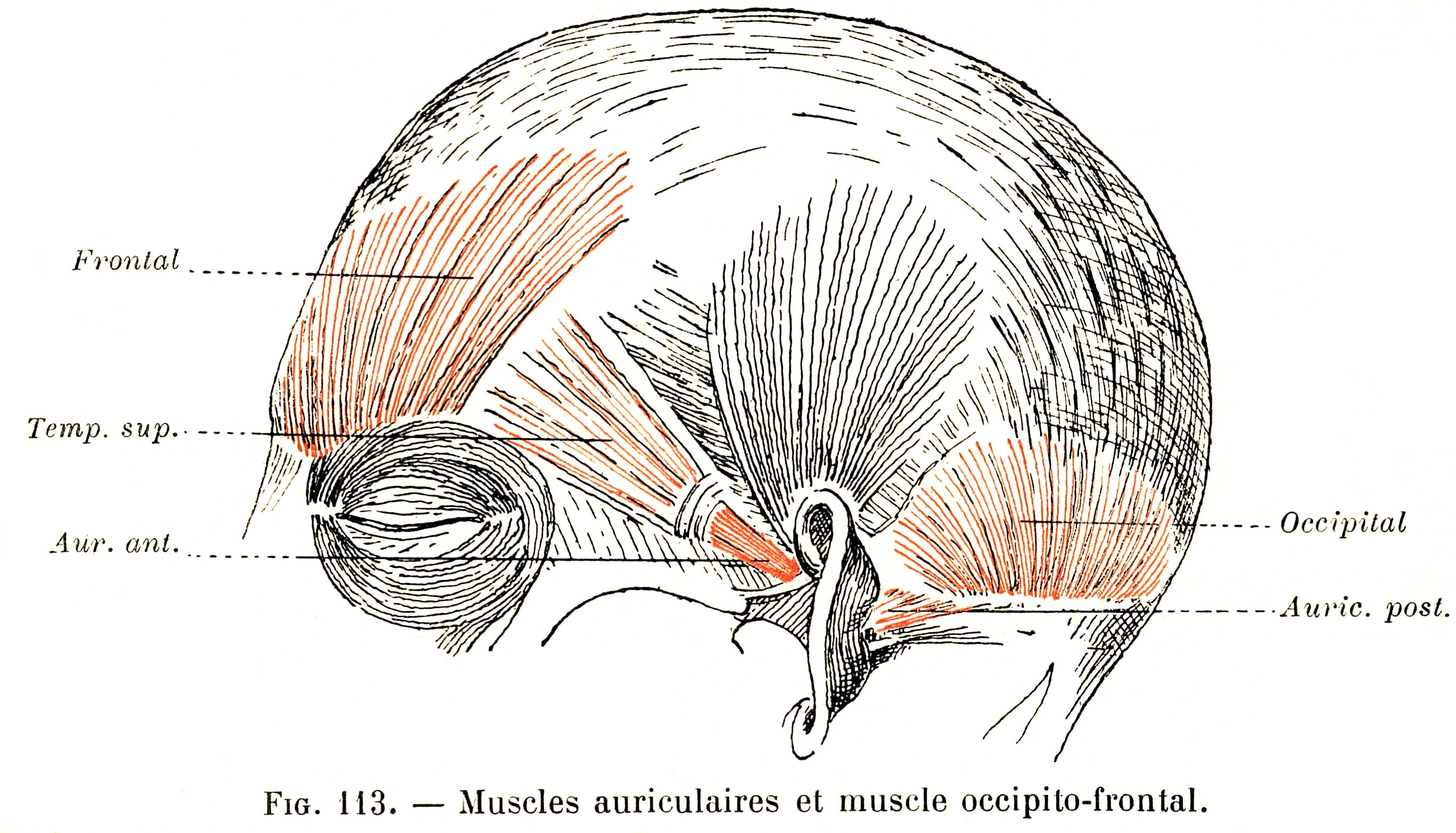 113 Auricular Muscles And The Occipito Frontalis Muscle