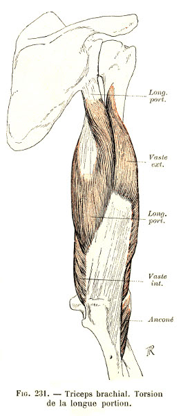 231. Triceps brachii muscle. Torsion of the long portion