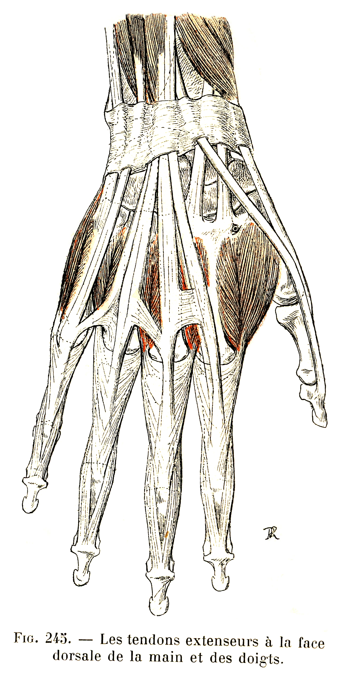 245. Dorsal extensor tendons of the hand and the fingers