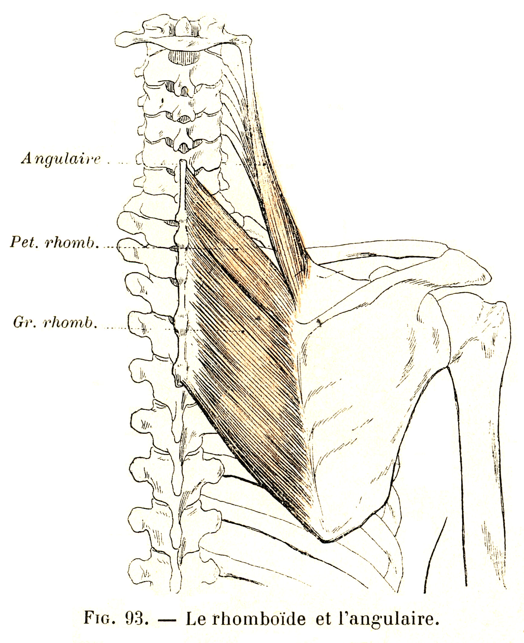 93. Rhomboid muscles and the levator scapulae muscle