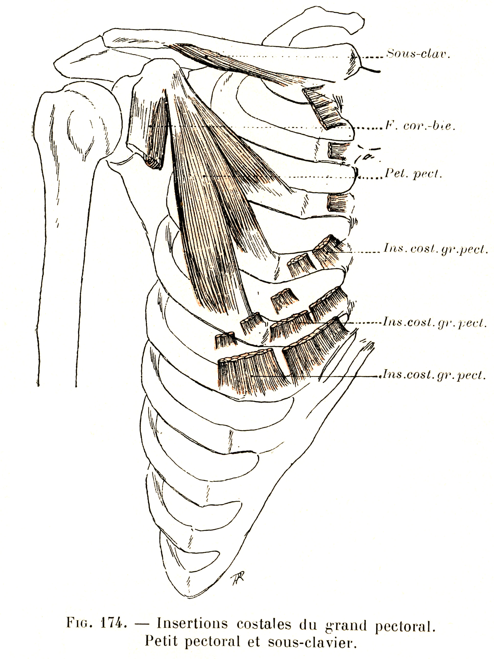 174 Costal Insertions Of The Pectoralis Major Muscle Pectoralis