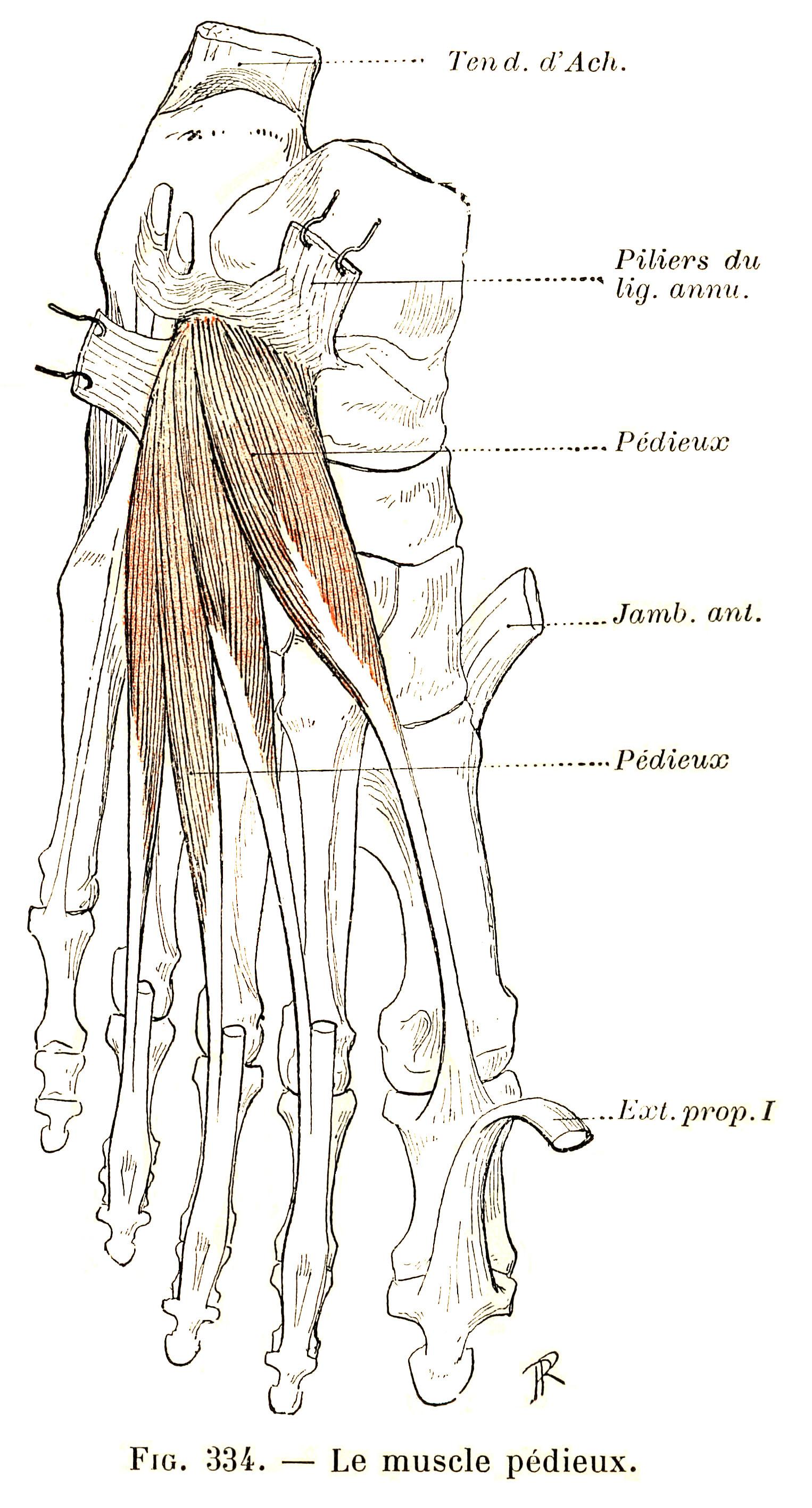 334 Extensor Digitorum Brevis Muscle